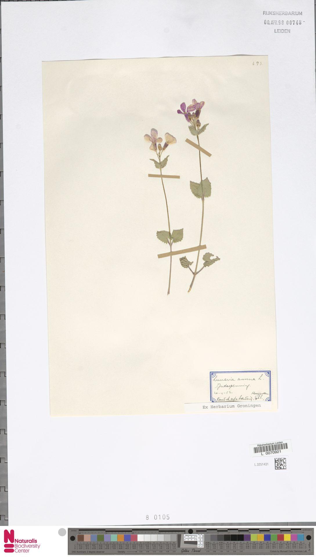 L.3251431   Lunaria annua L.