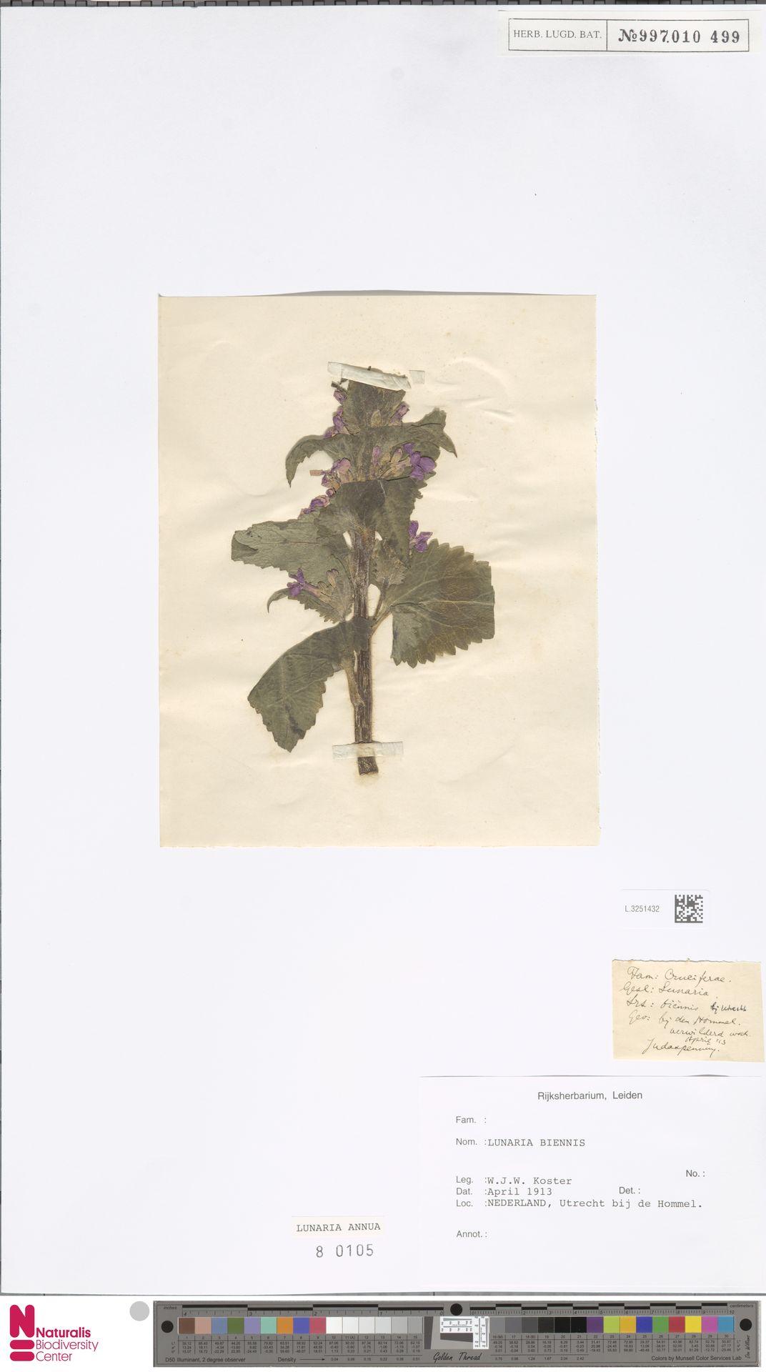 L.3251432 | Lunaria annua L.