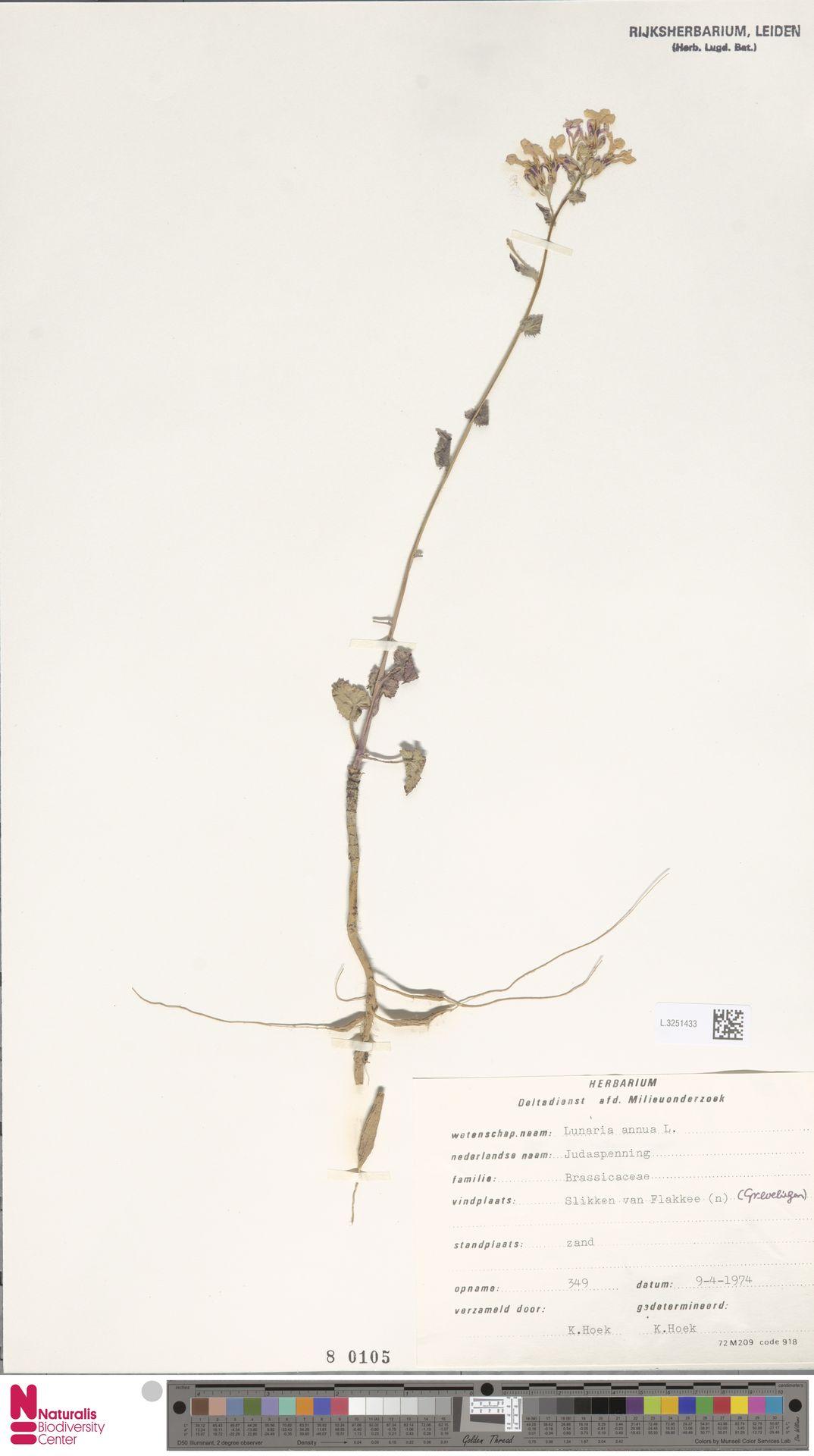 L.3251433 | Lunaria annua L.