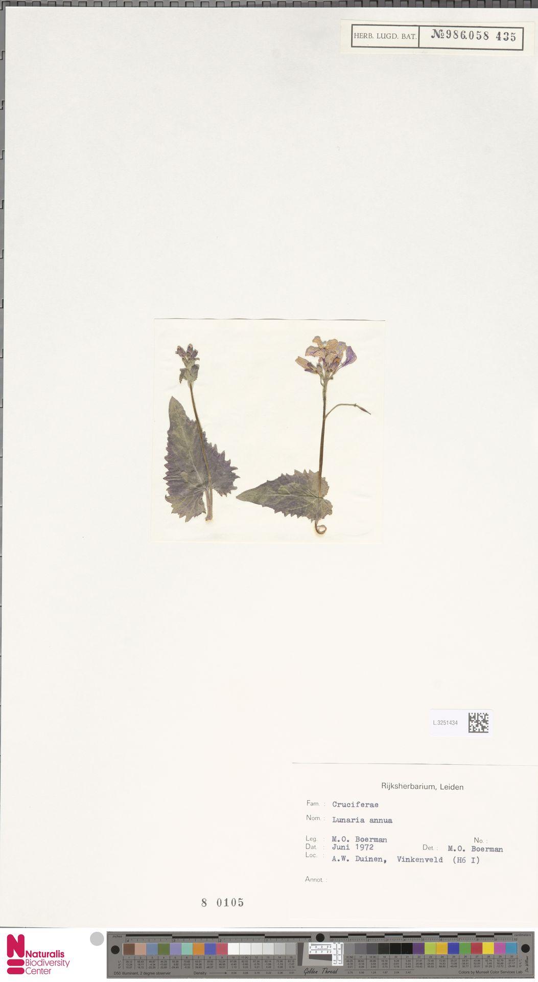 L.3251434 | Lunaria annua L.
