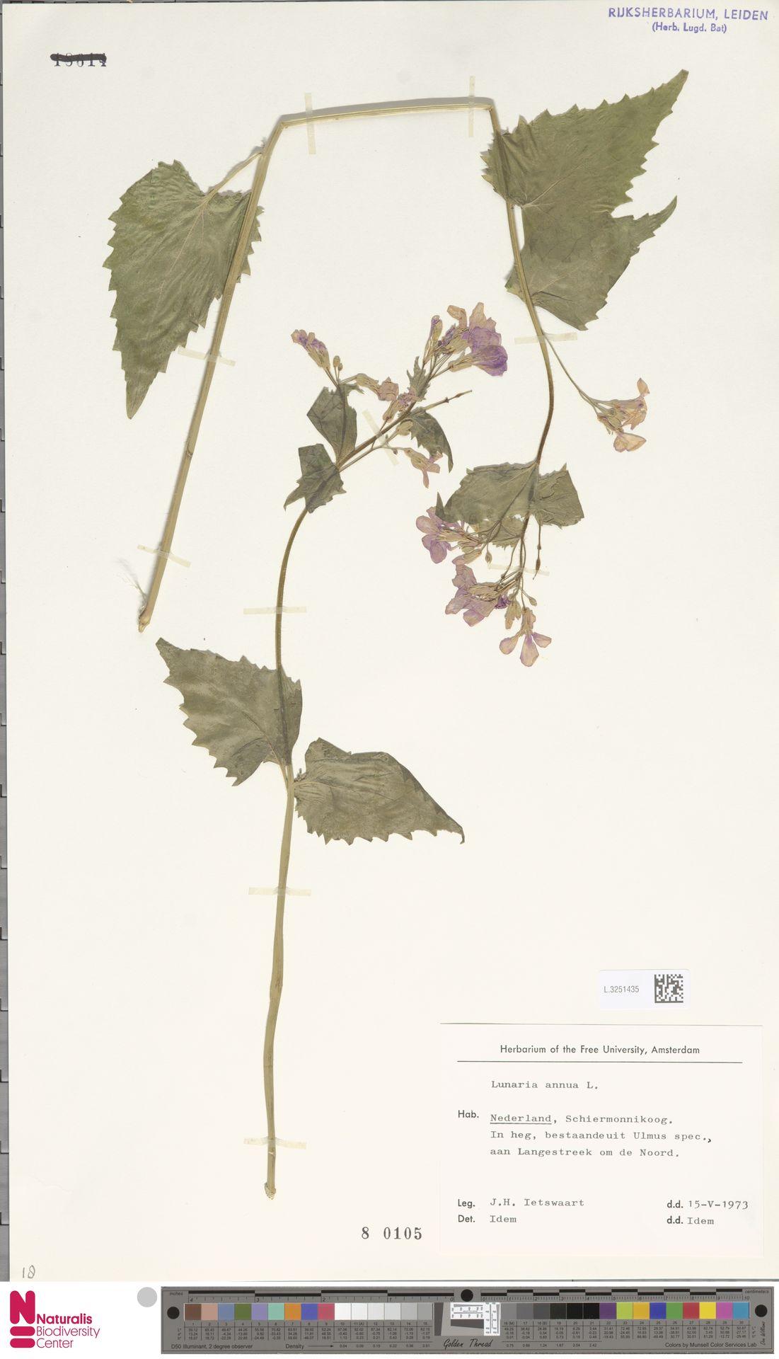 L.3251435 | Lunaria annua L.