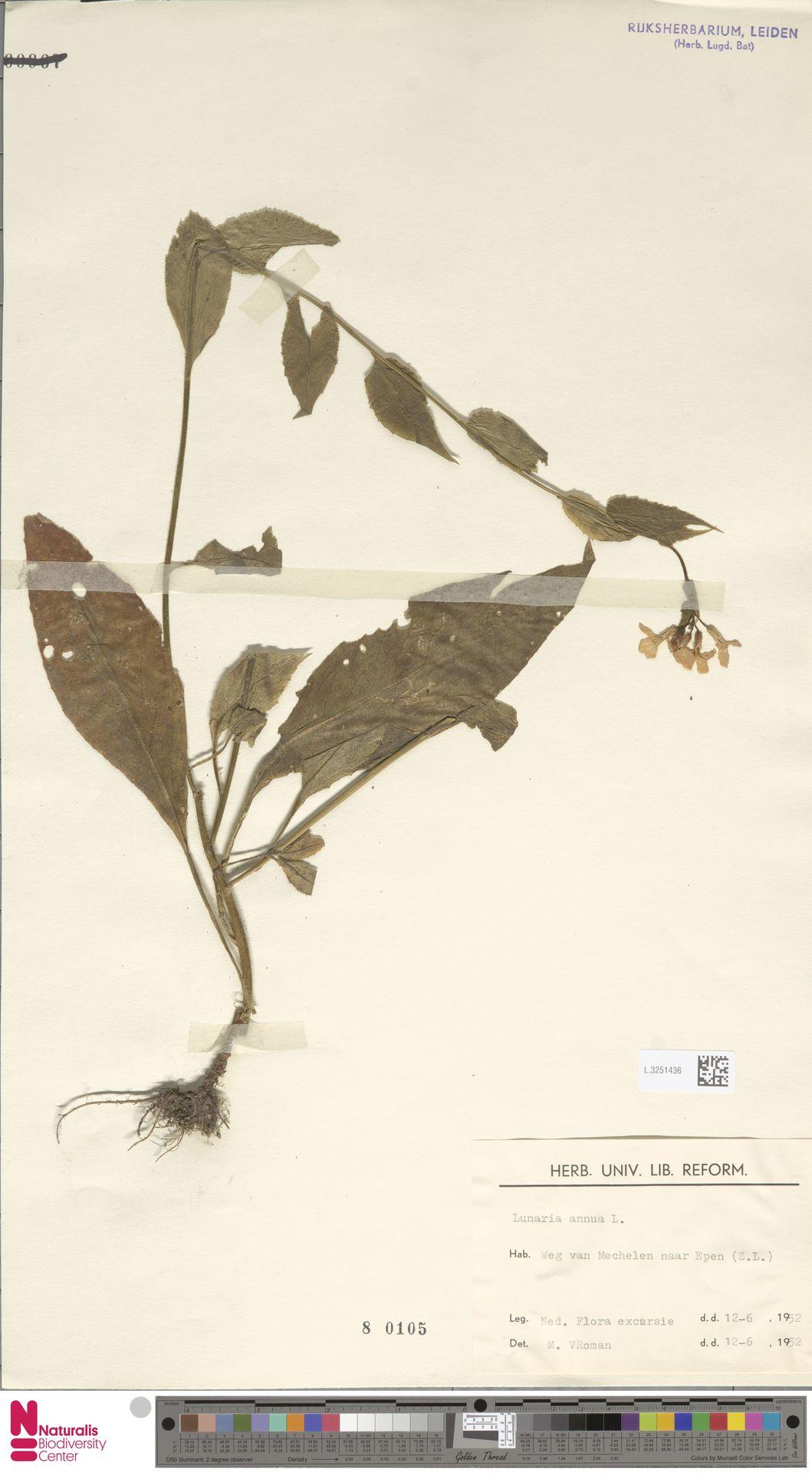 L.3251436   Lunaria annua L.