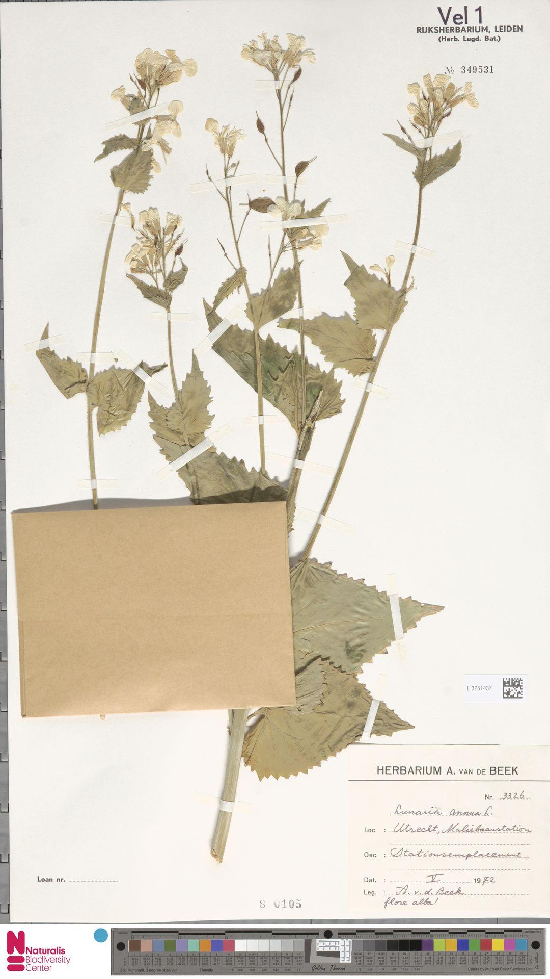 L.3251437 | Lunaria annua L.