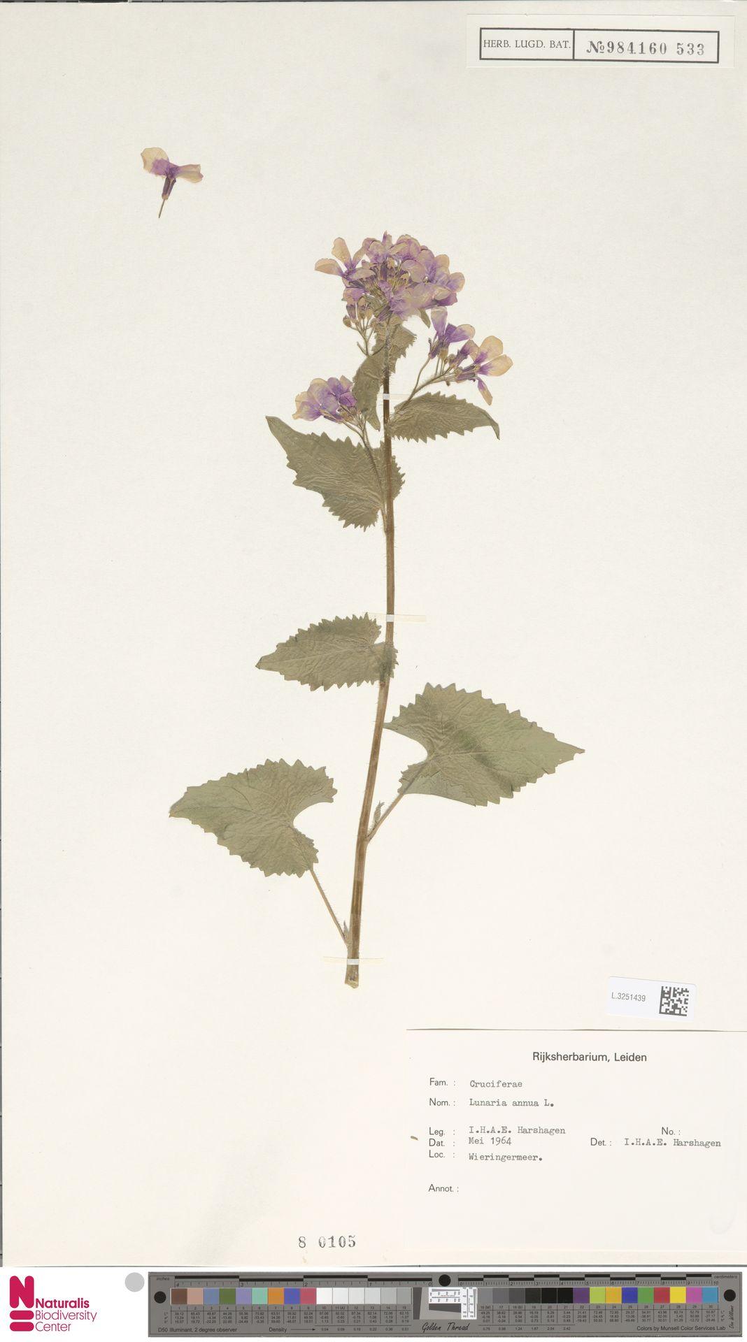 L.3251439 | Lunaria annua L.