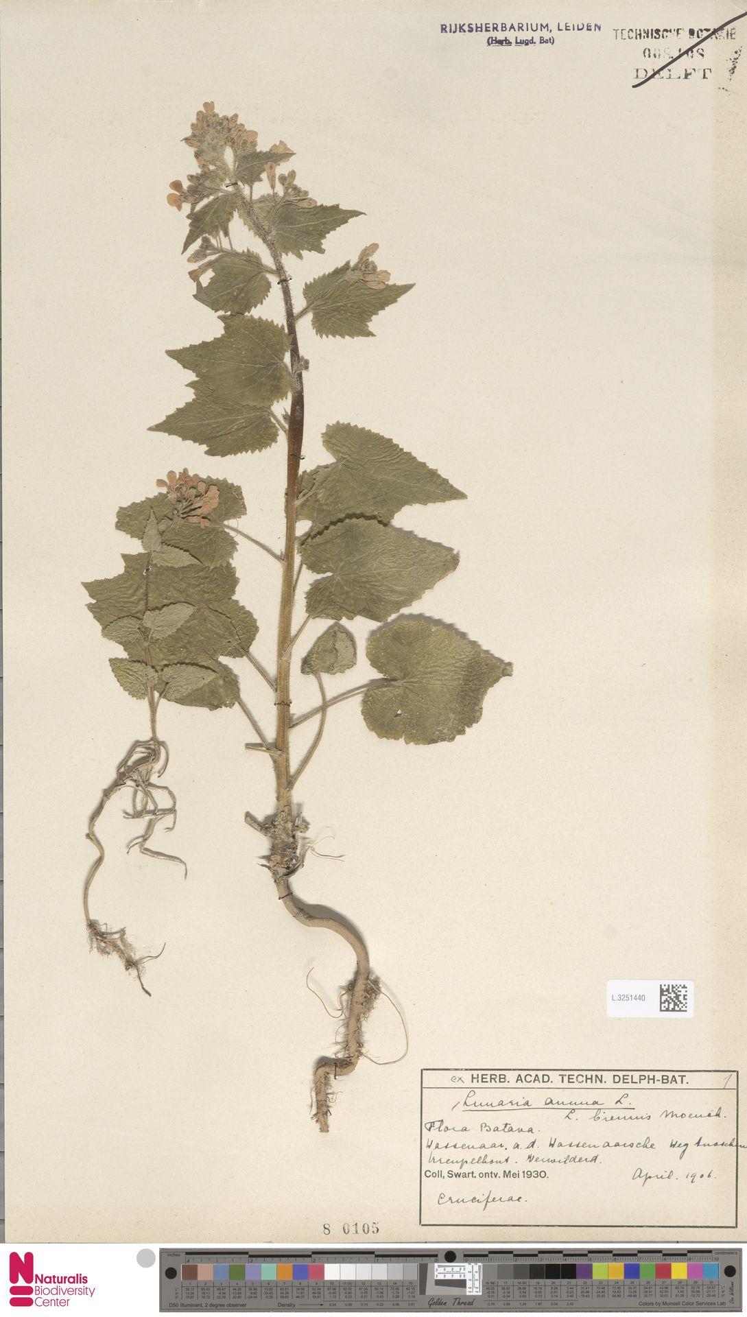 L.3251440 | Lunaria annua L.