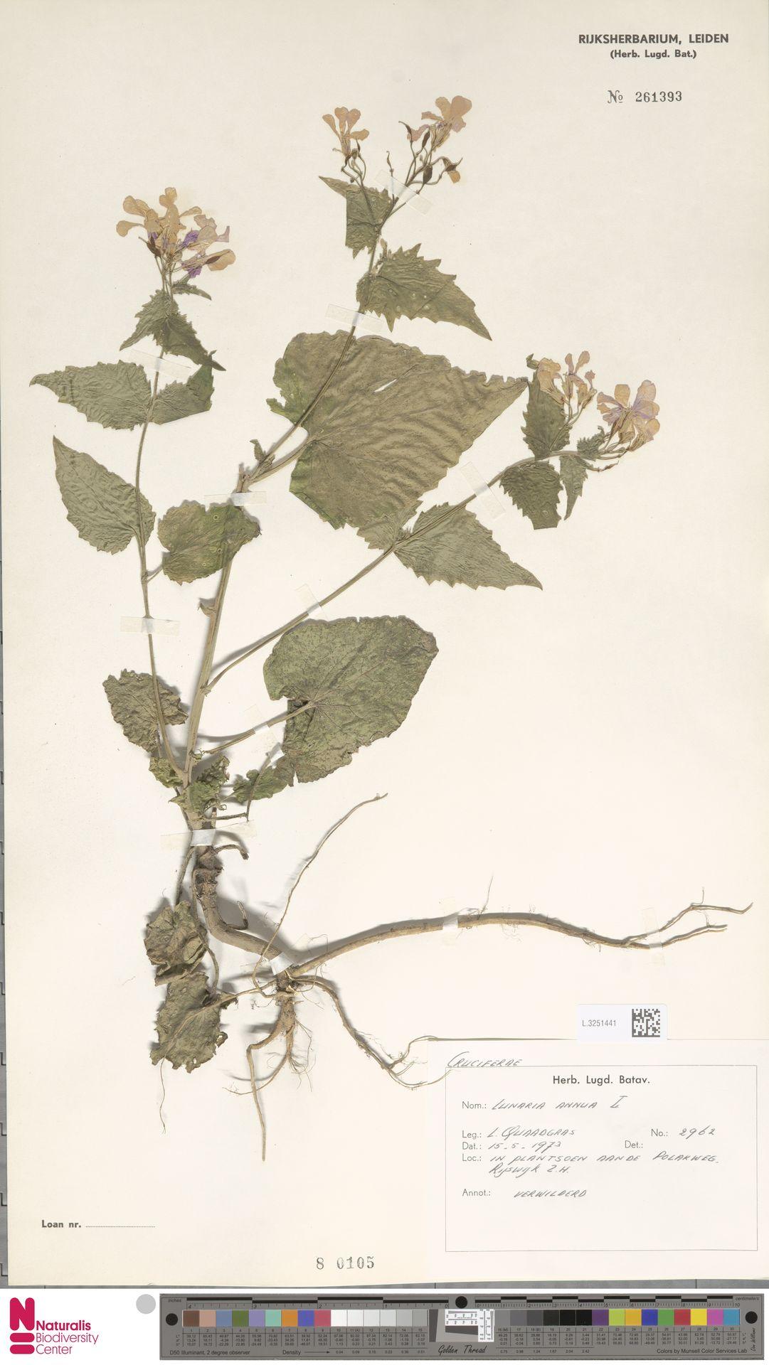 L.3251441 | Lunaria annua L.
