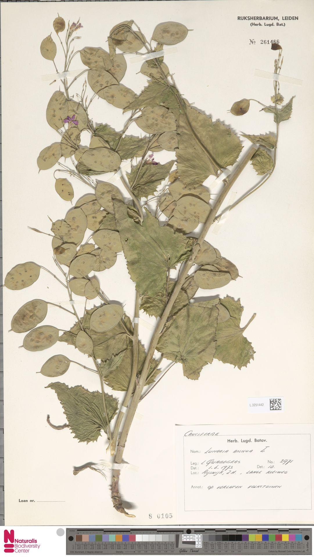 L.3251442 | Lunaria annua L.