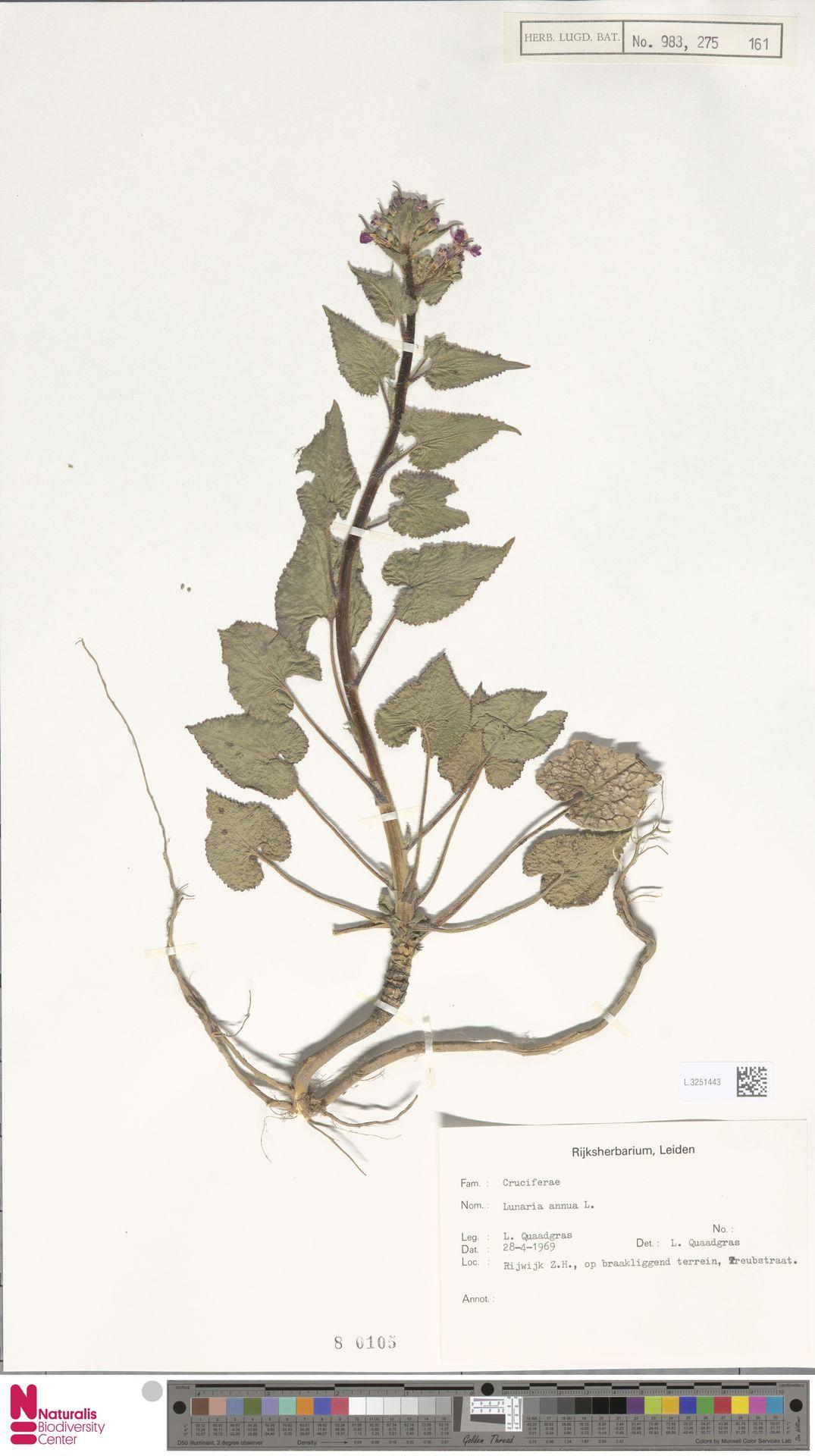 L.3251443 | Lunaria annua L.