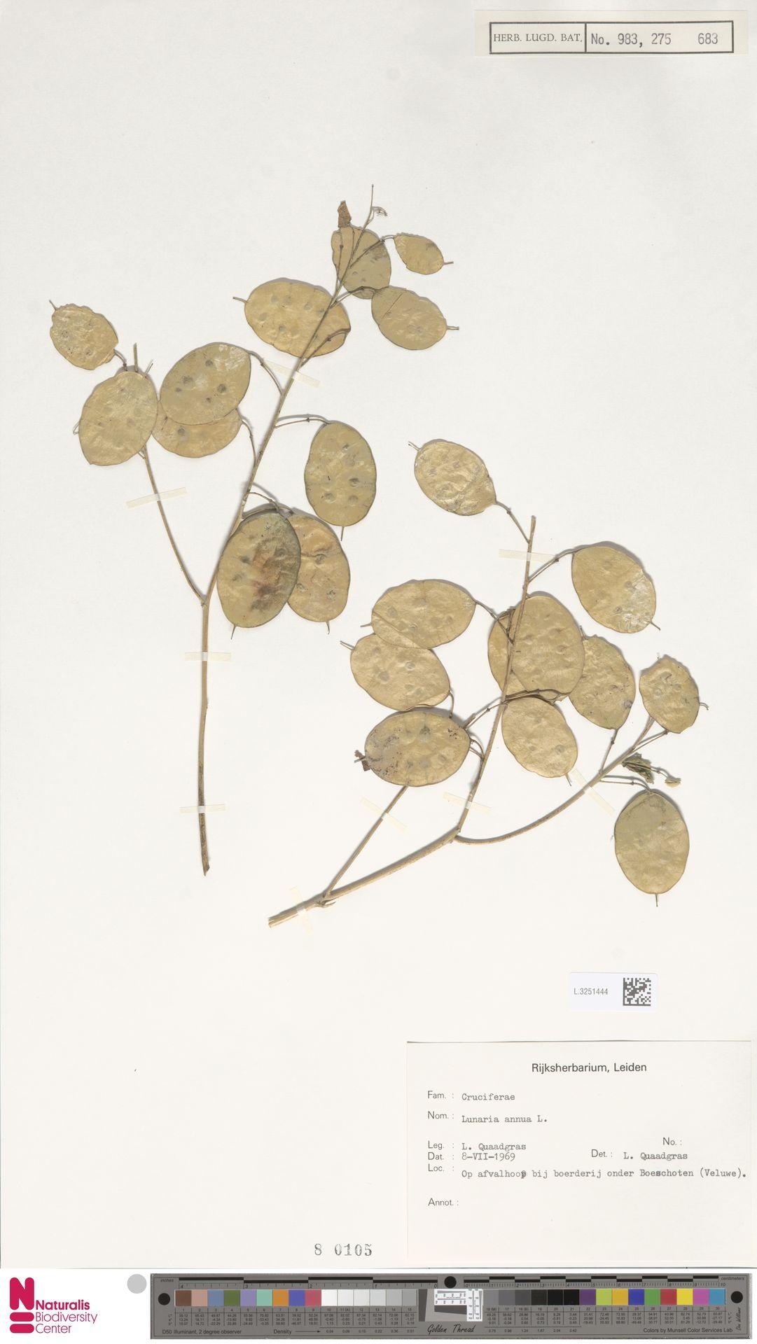 L.3251444 | Lunaria annua L.