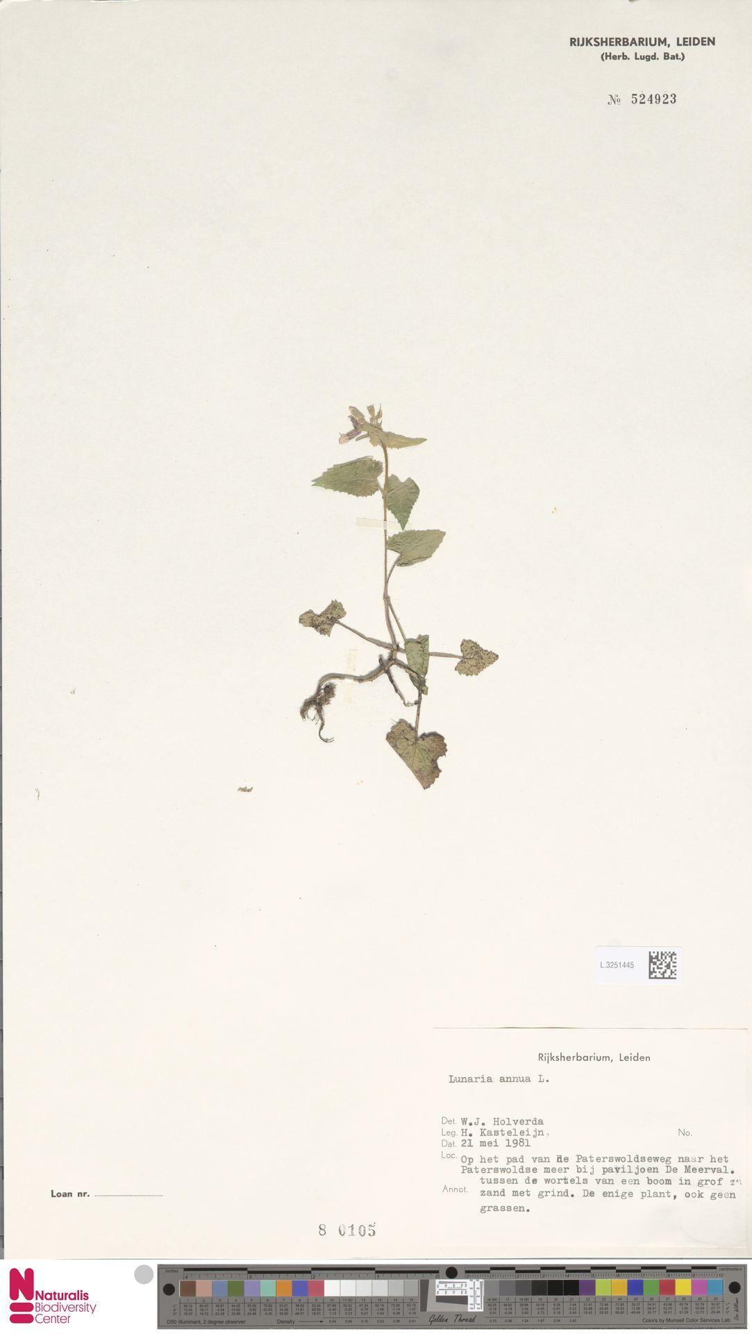 L.3251445   Lunaria annua L.