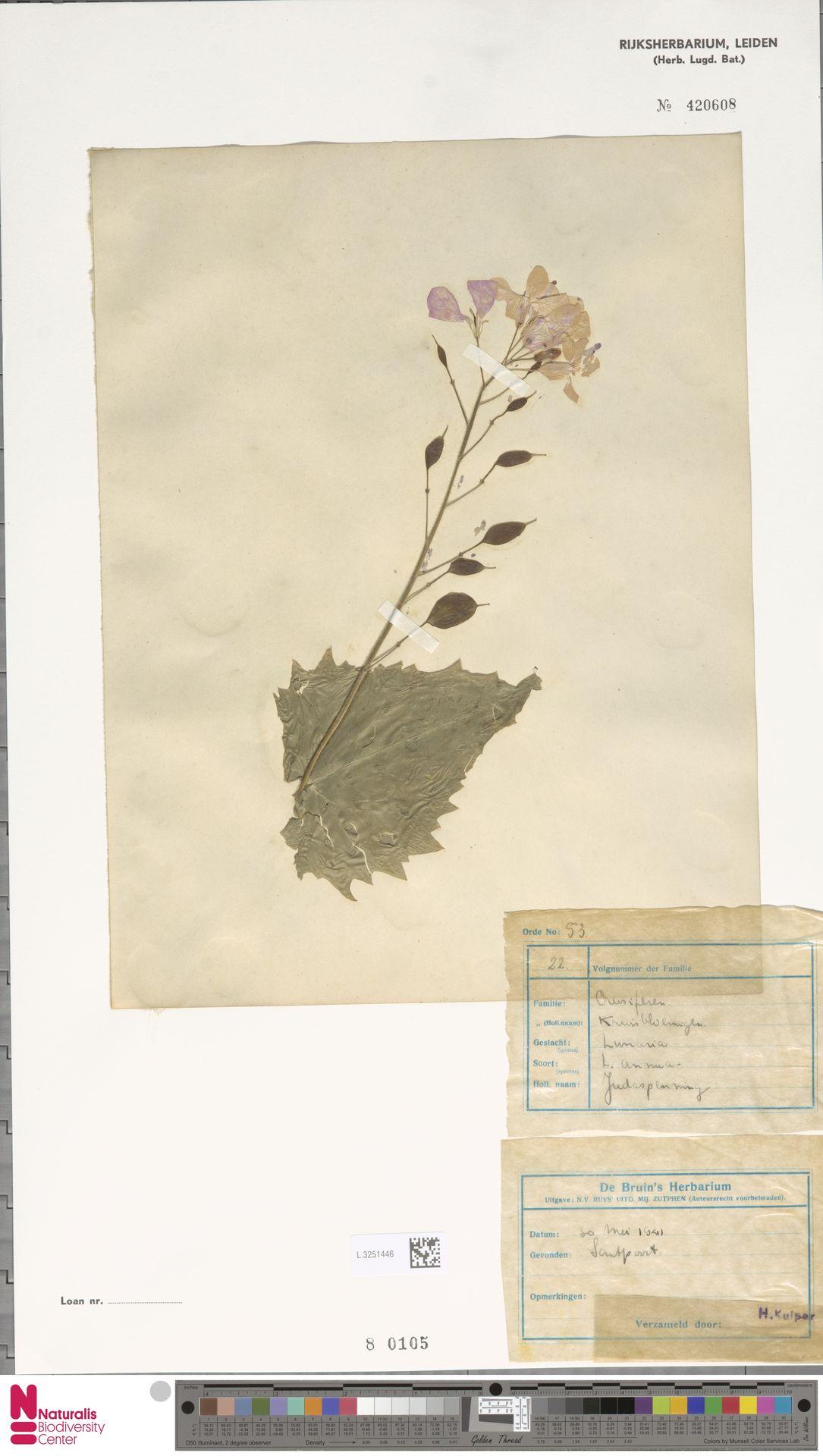 L.3251446 | Lunaria annua L.