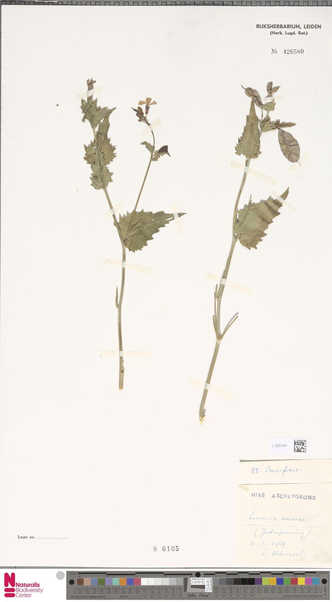L.3251447 | Lunaria annua L.
