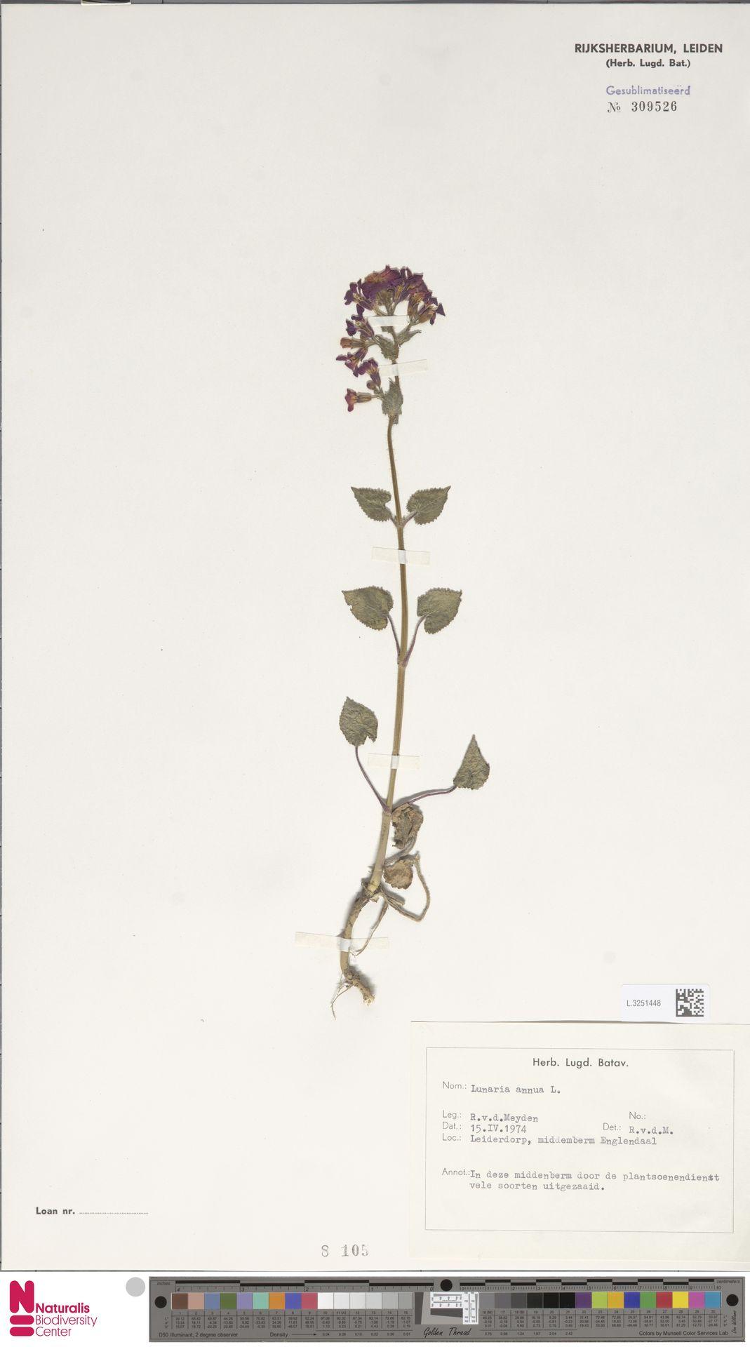 L.3251448 | Lunaria annua L.