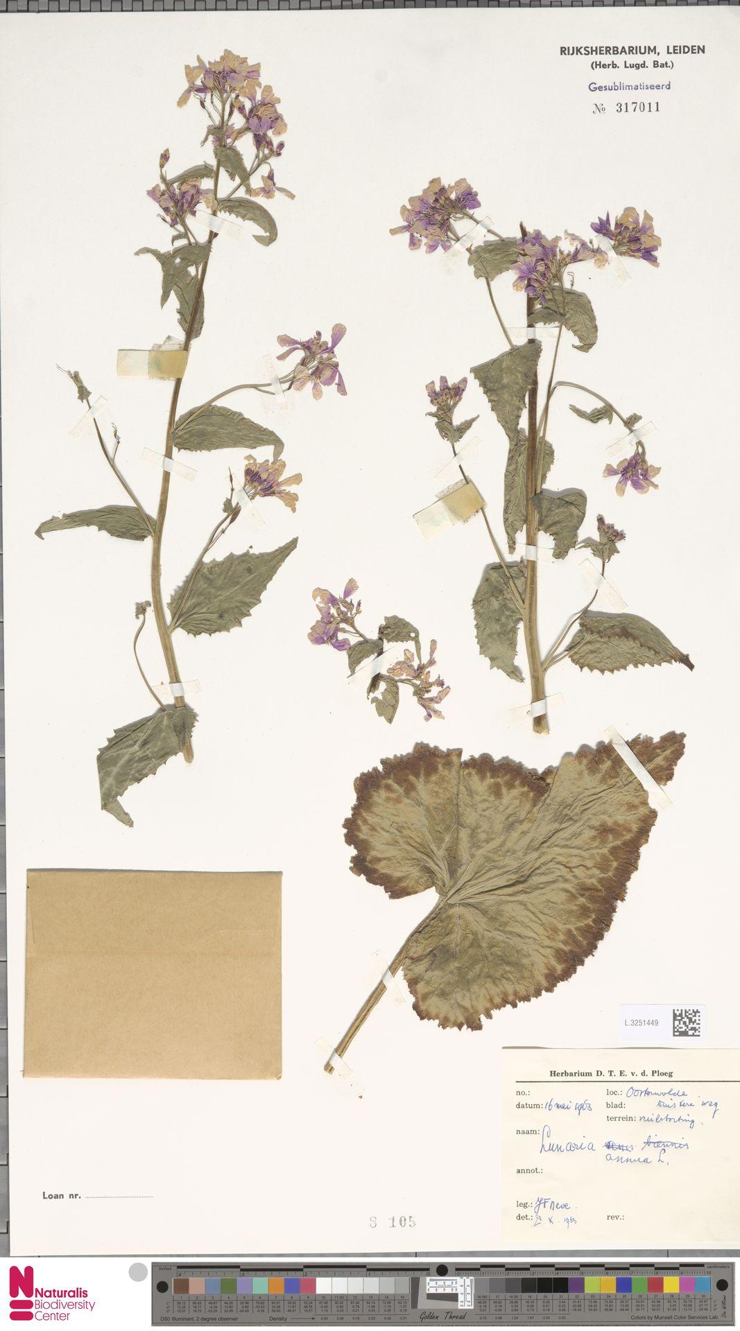 L.3251449 | Lunaria annua L.