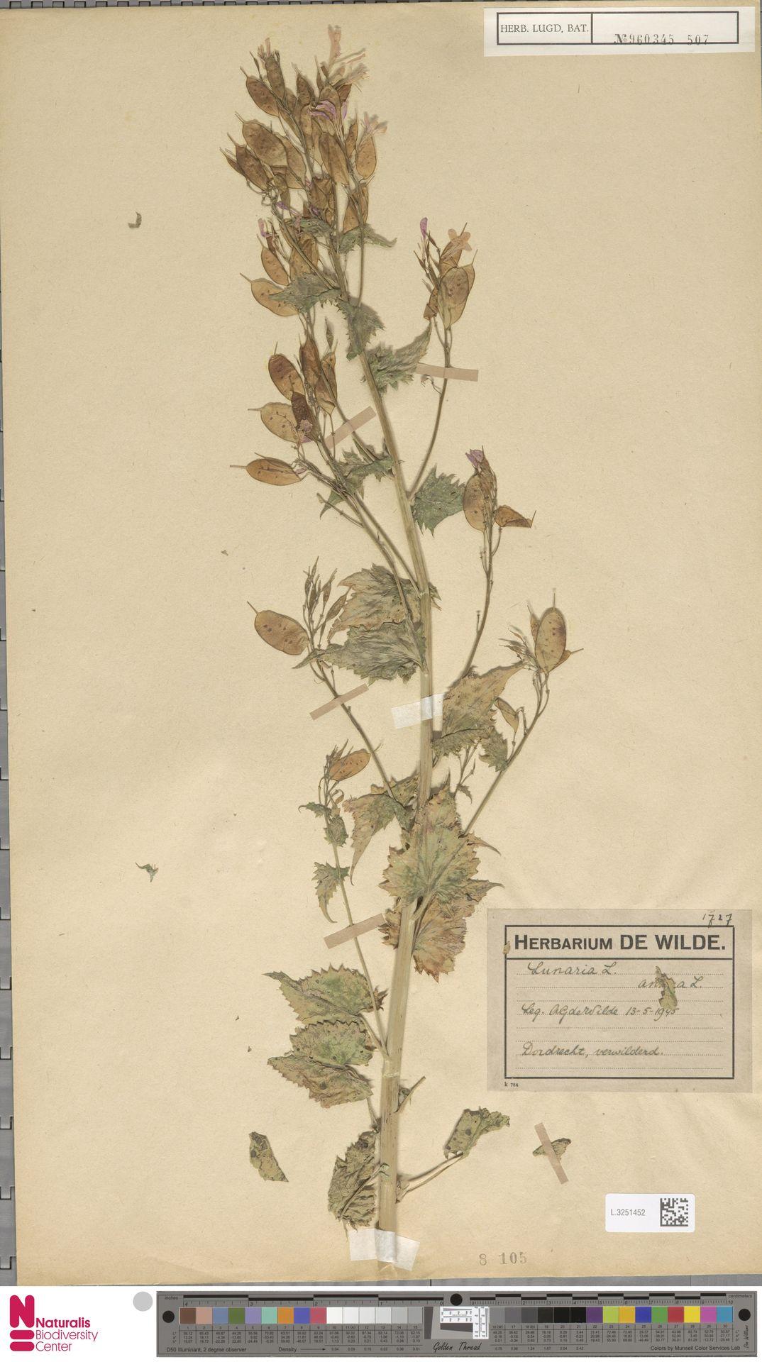 L.3251452 | Lunaria annua L.