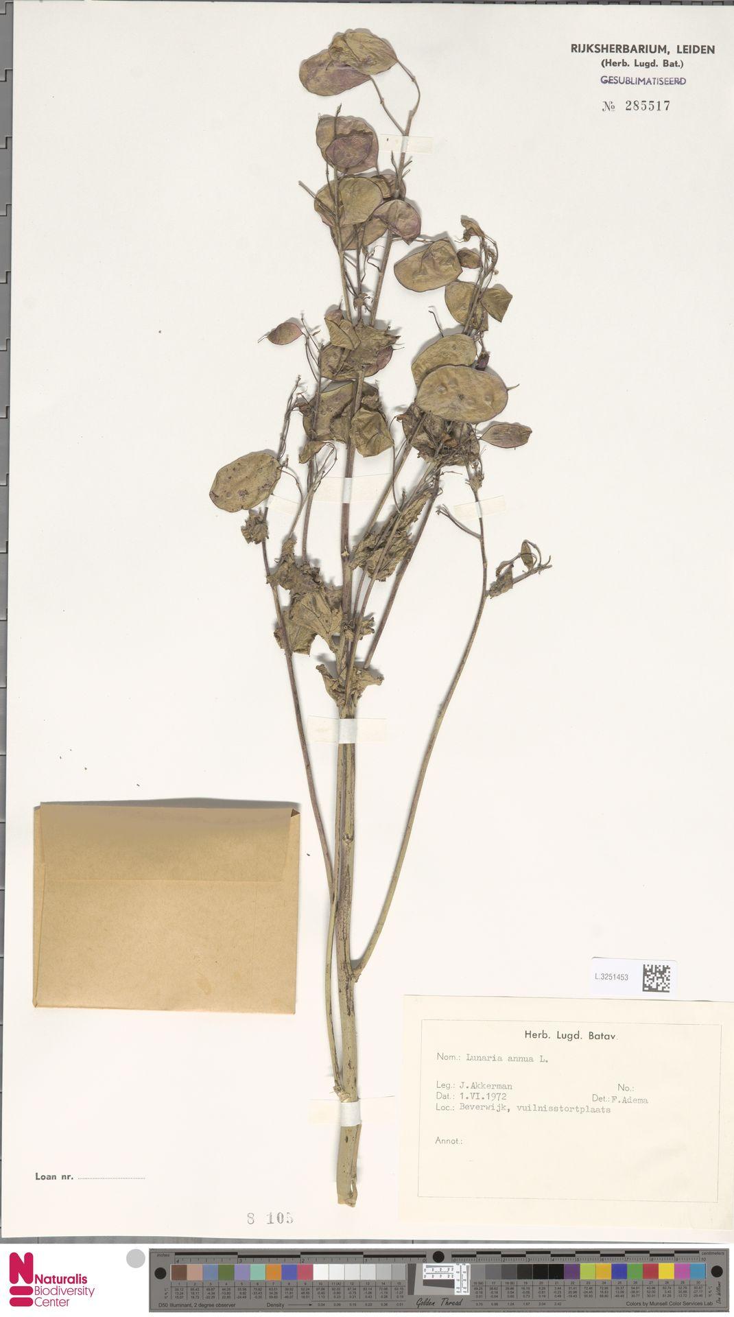 L.3251453 | Lunaria annua L.