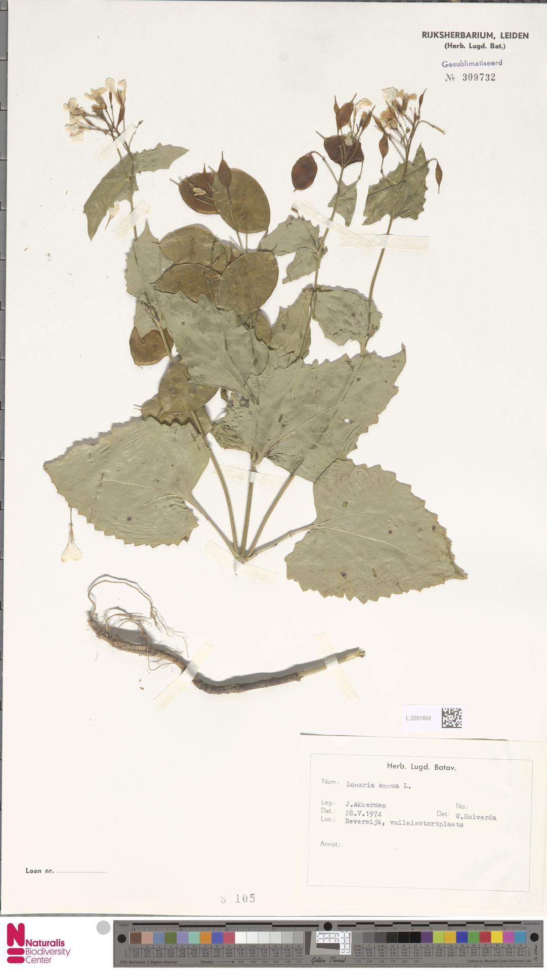 L.3251454 | Lunaria annua L.