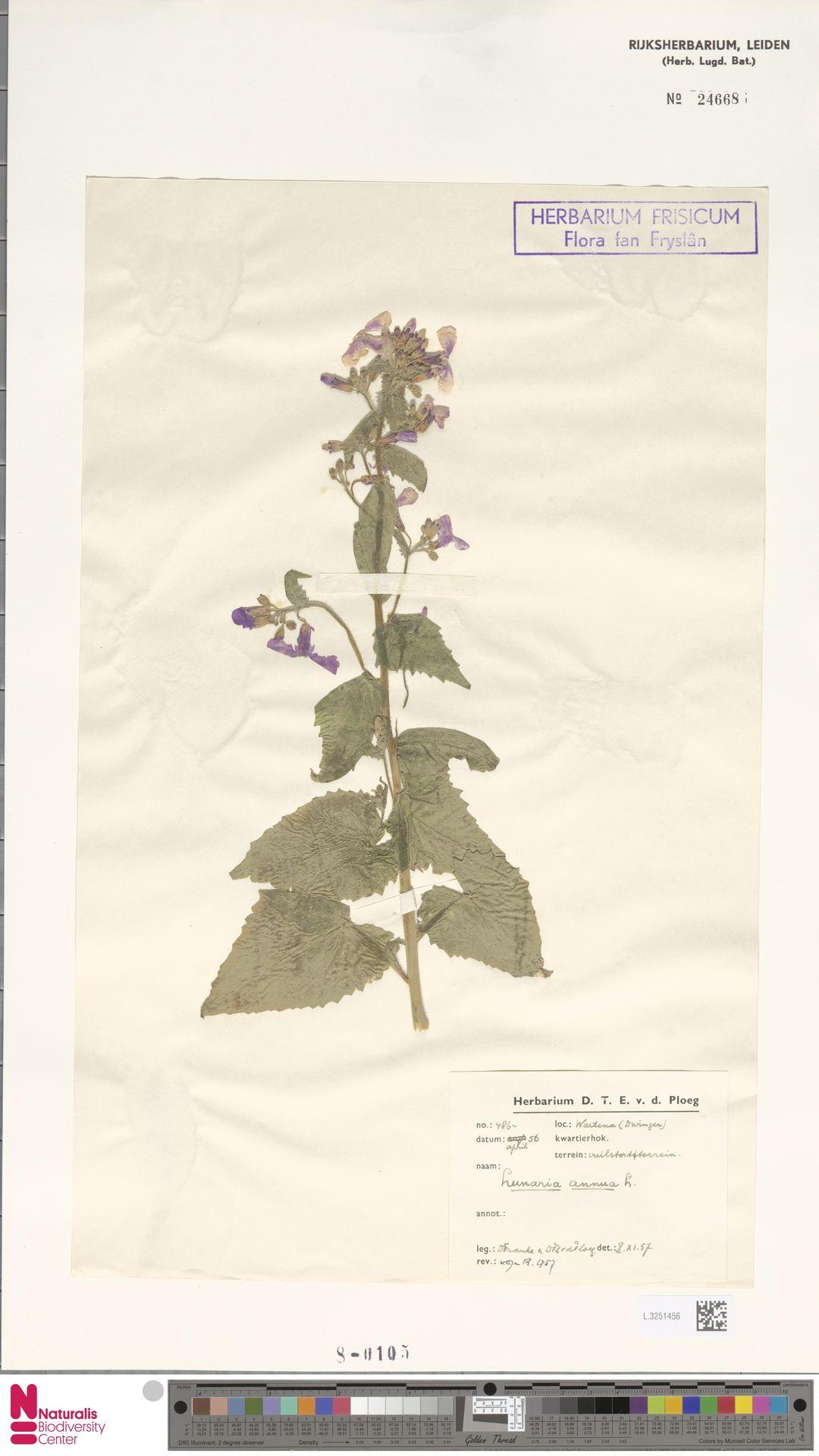 L.3251456 | Lunaria annua L.