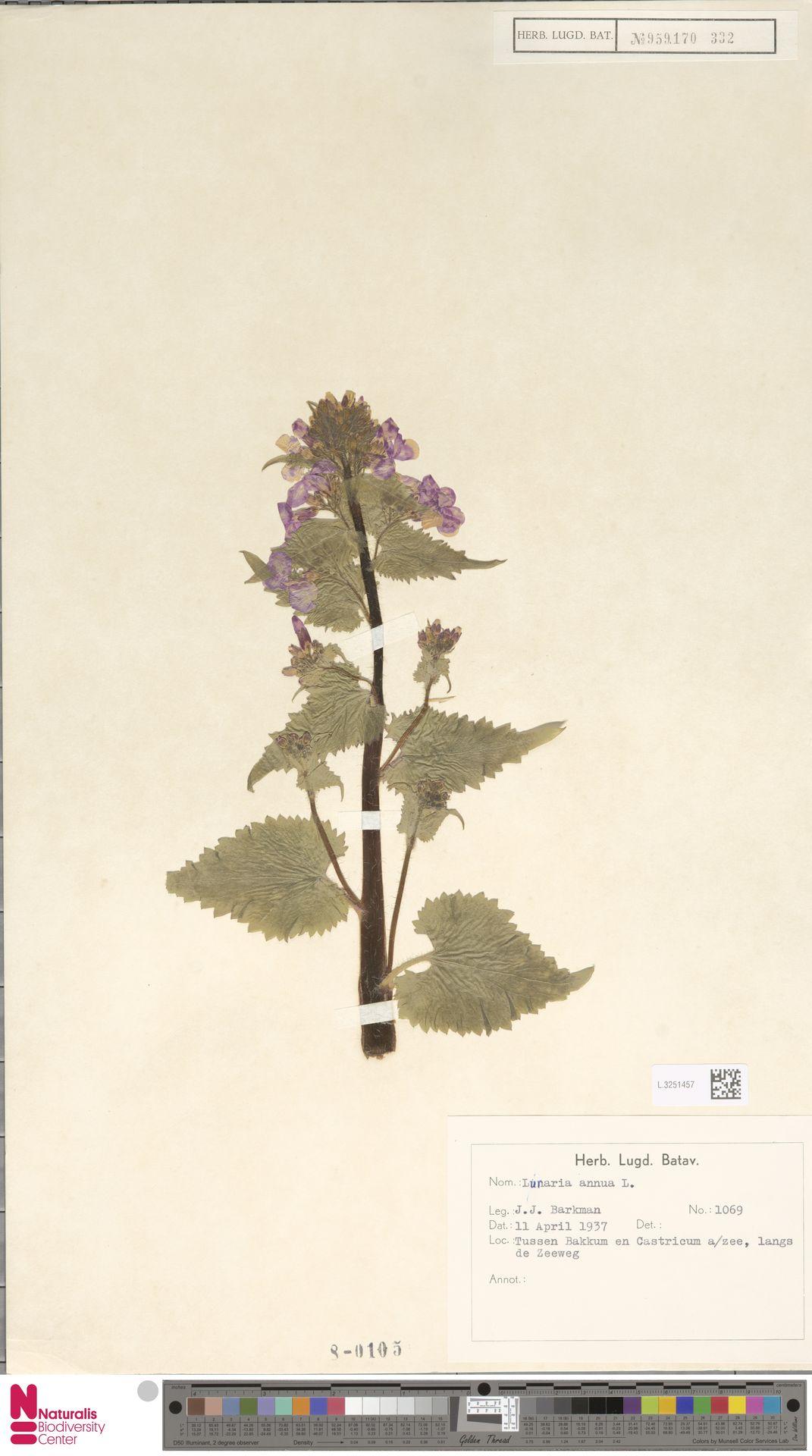L.3251457 | Lunaria annua L.