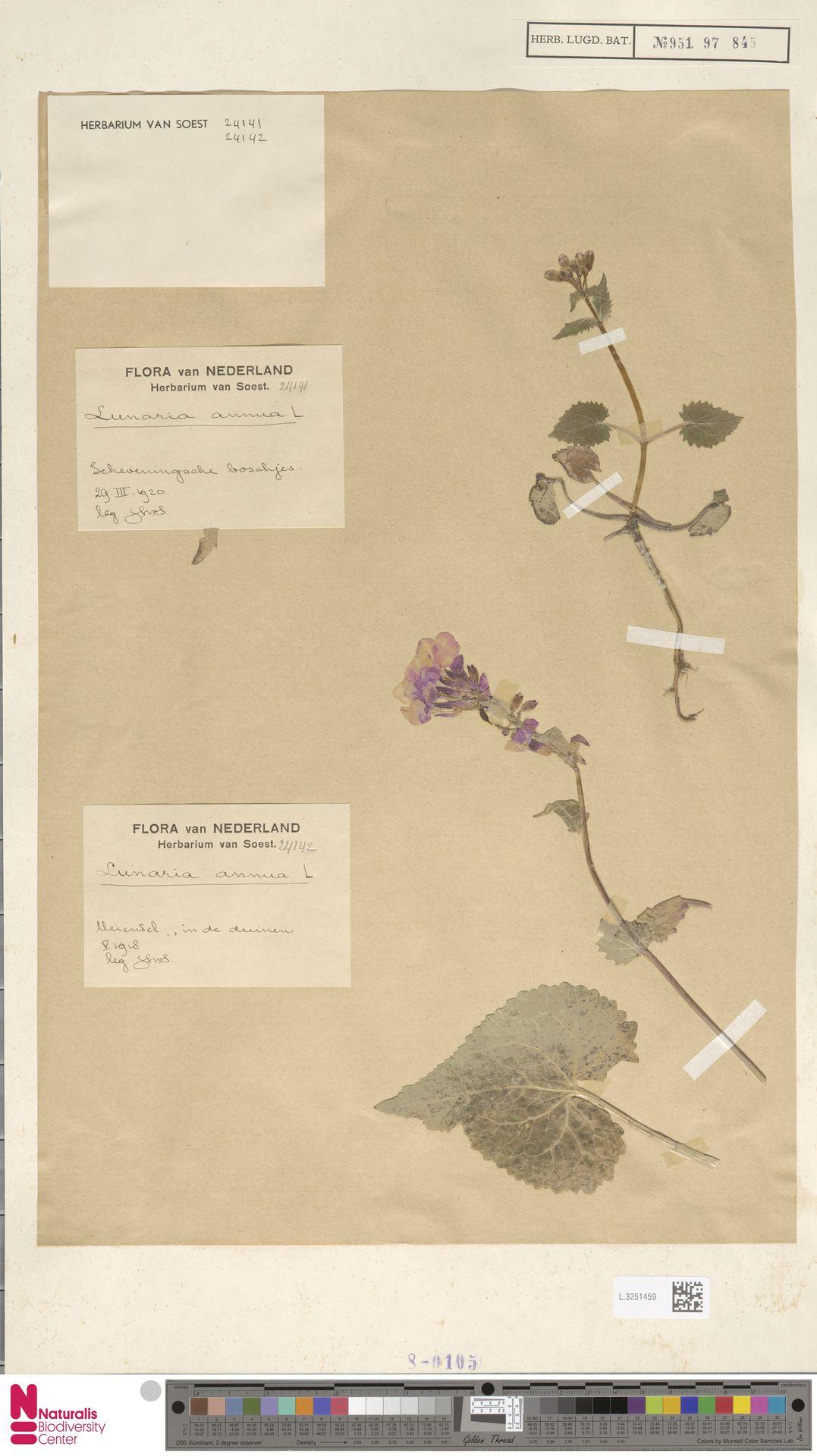 L.3251459   Lunaria annua L.