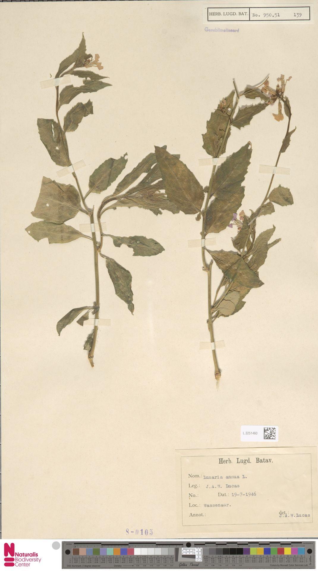 L.3251460 | Lunaria annua L.