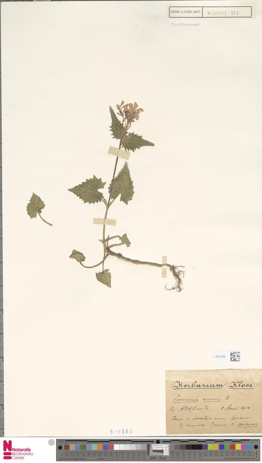 L.3251462 | Lunaria annua L.