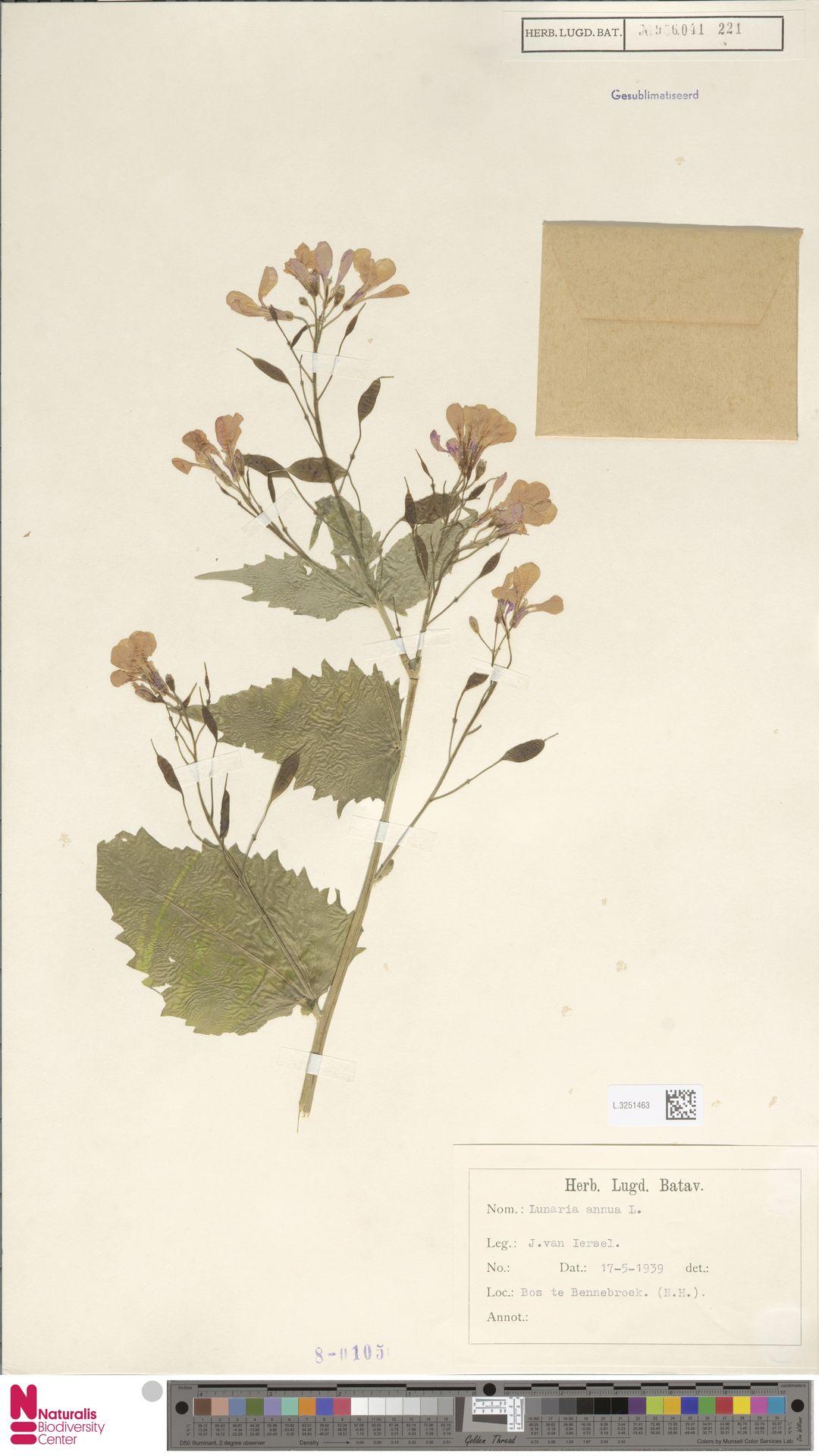 L.3251463 | Lunaria annua L.