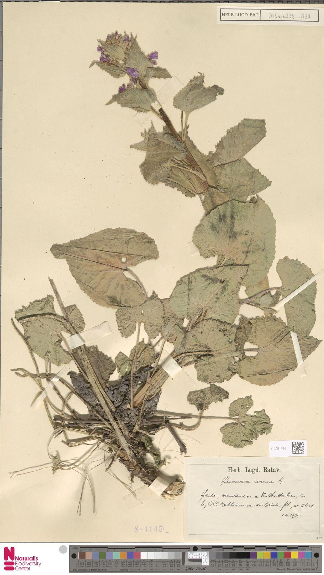 L.3251464 | Lunaria annua L.