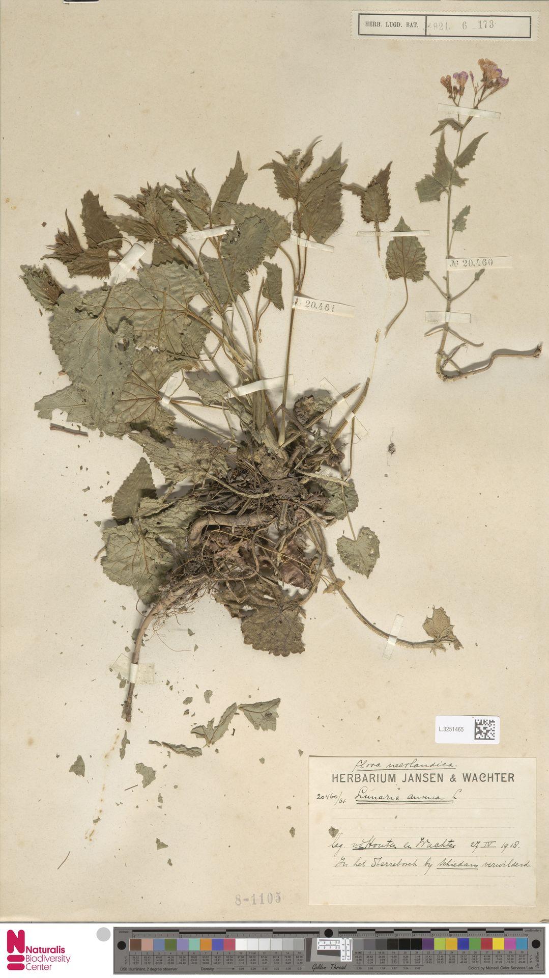 L.3251465 | Lunaria annua L.