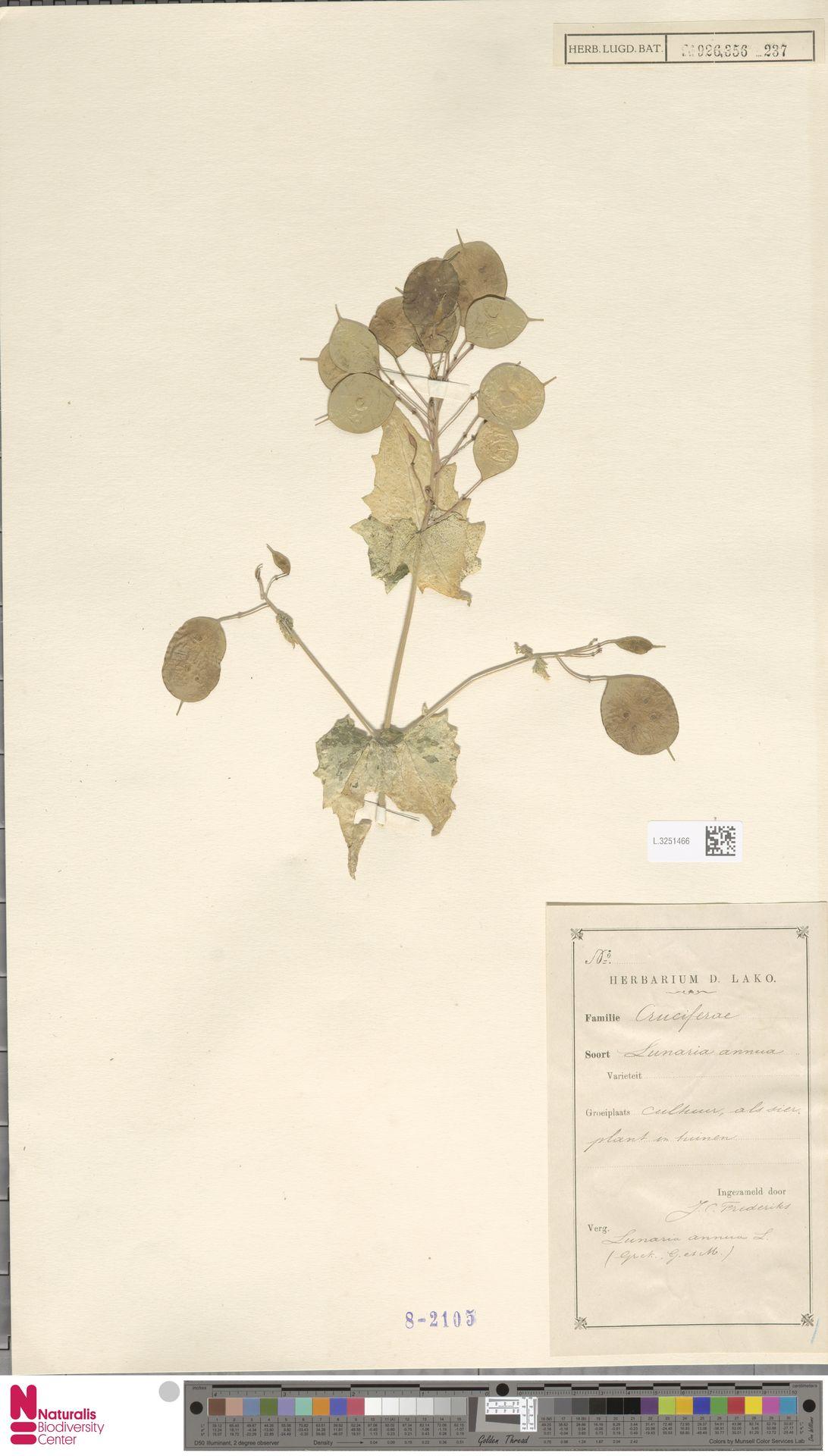 L.3251466 | Lunaria annua L.