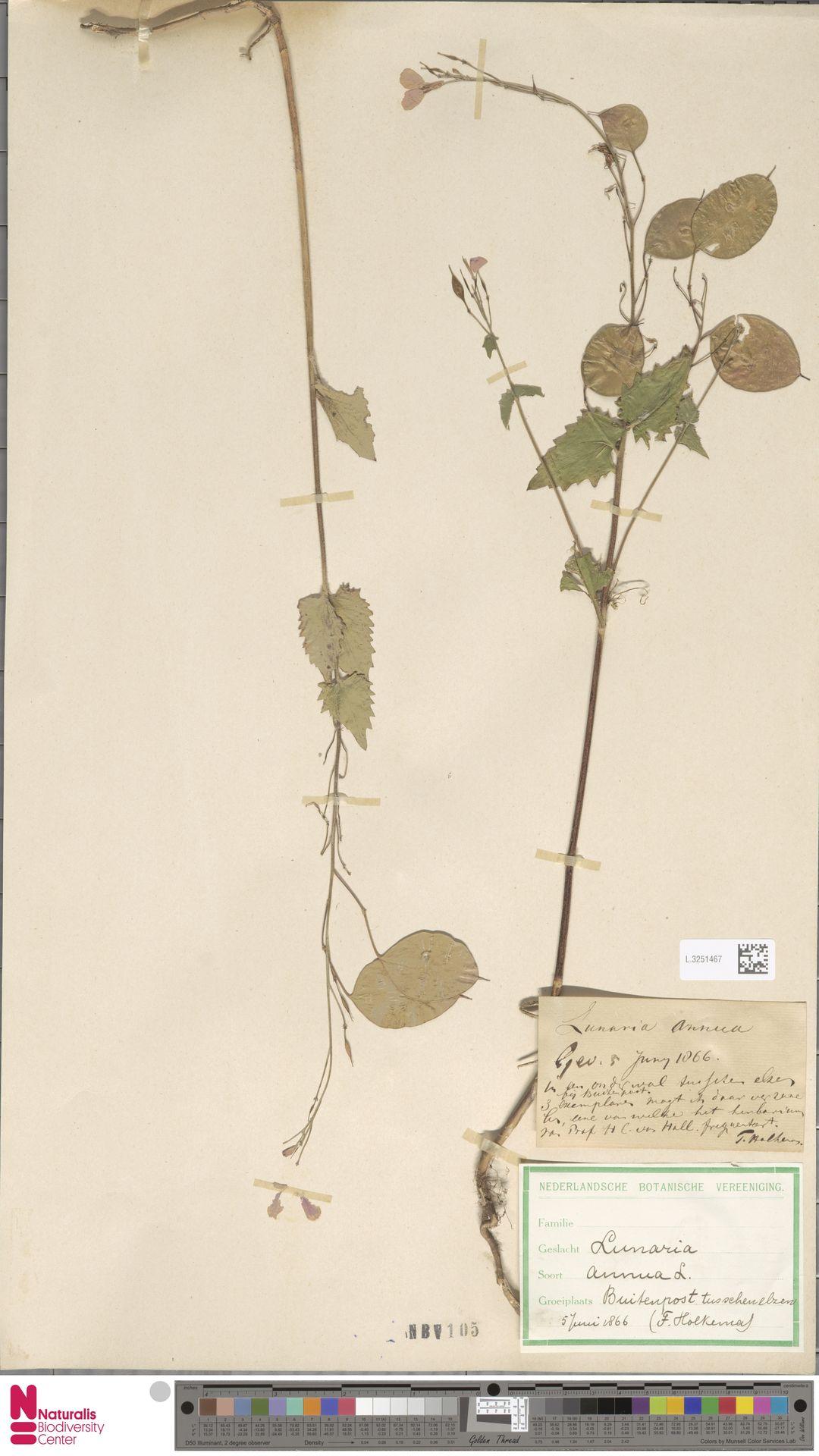 L.3251467 | Lunaria annua L.