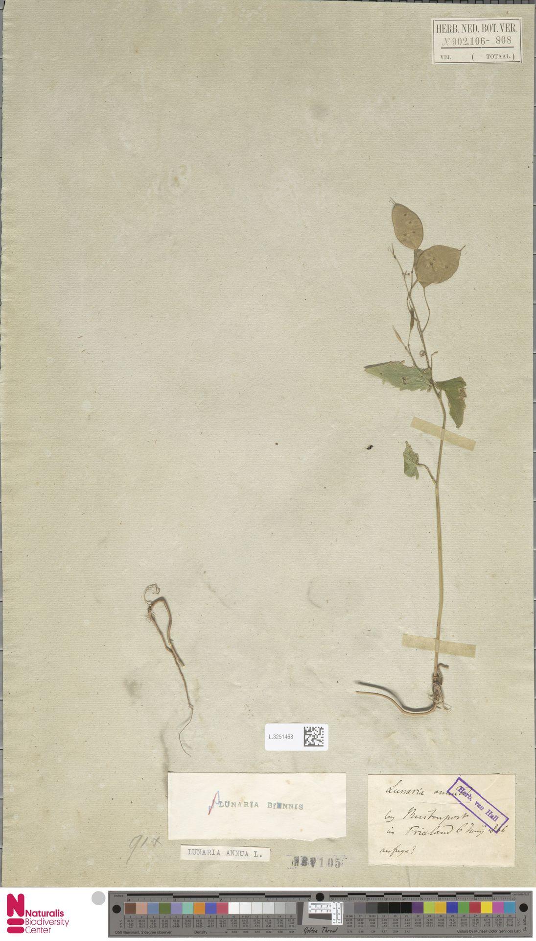 L.3251468 | Lunaria annua L.