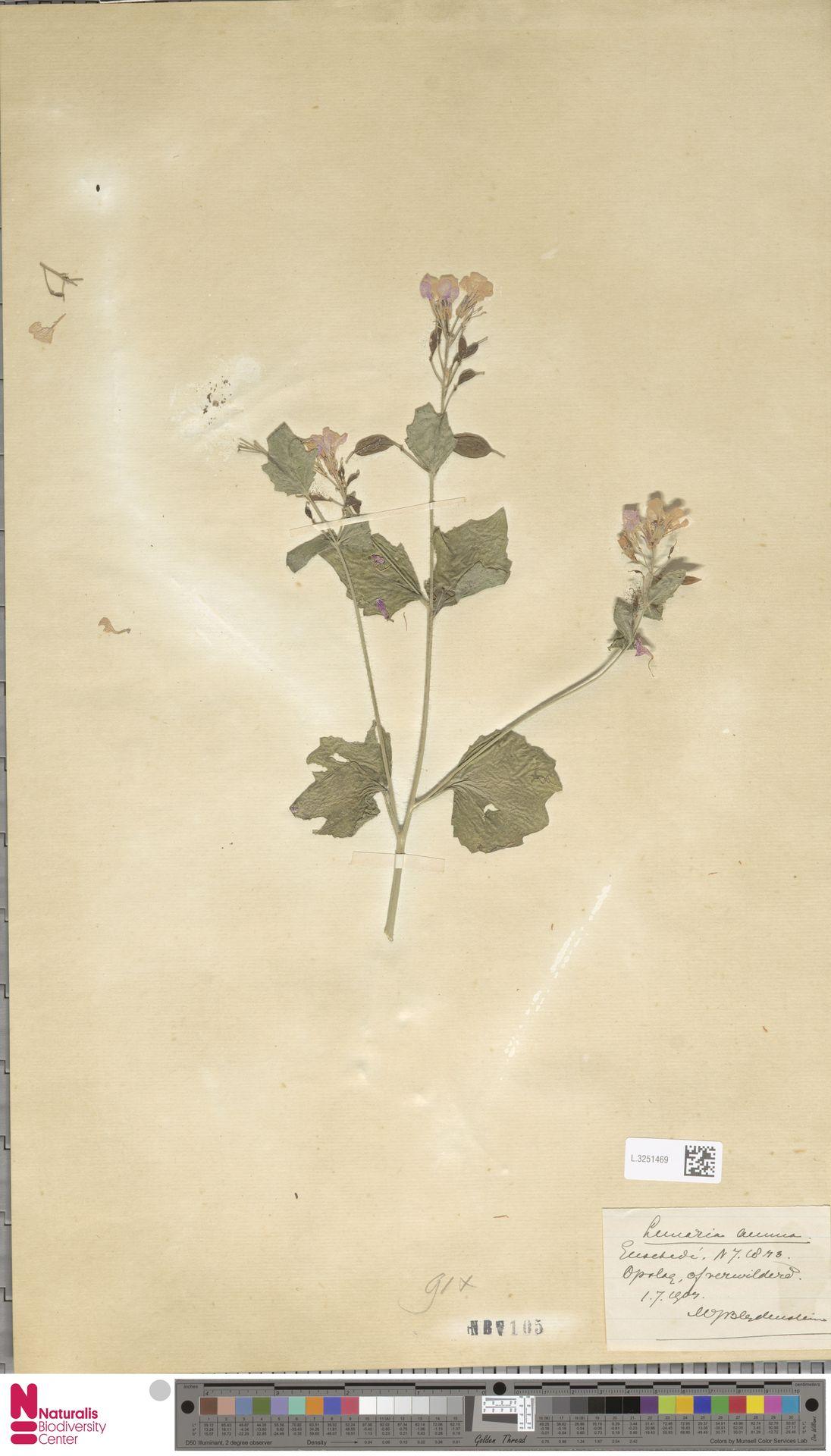 L.3251469 | Lunaria annua L.