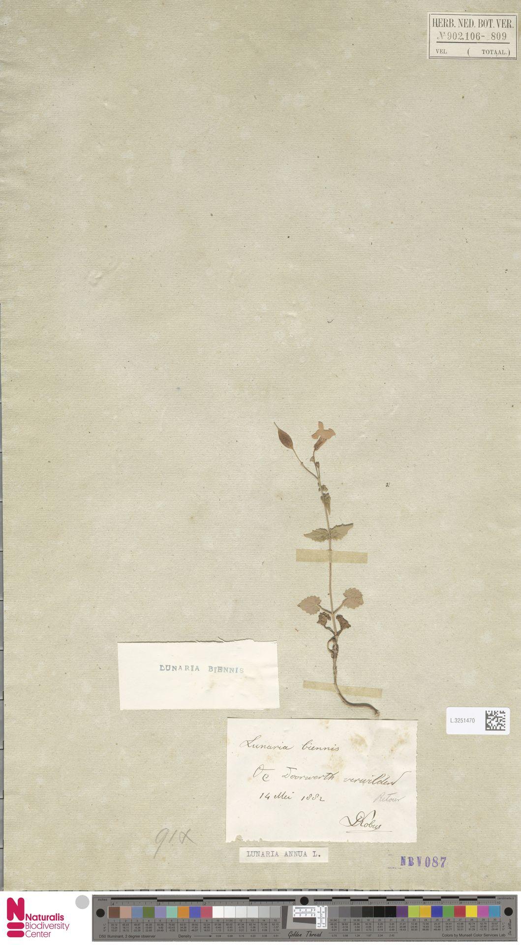 L.3251470 | Lunaria annua L.