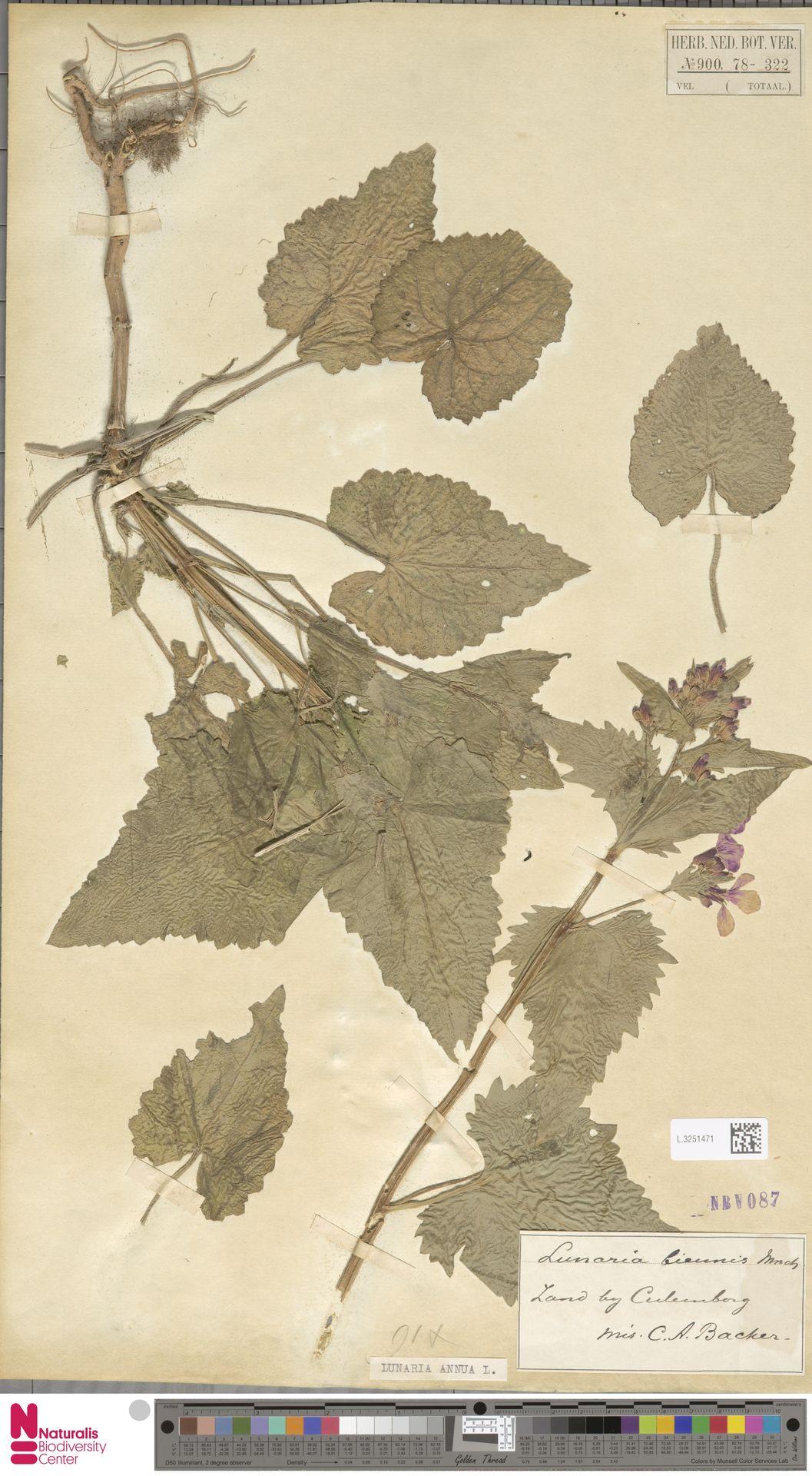 L.3251471 | Lunaria annua L.