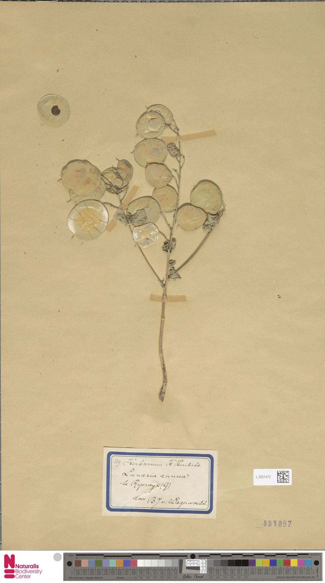 L.3251472   Lunaria annua L.