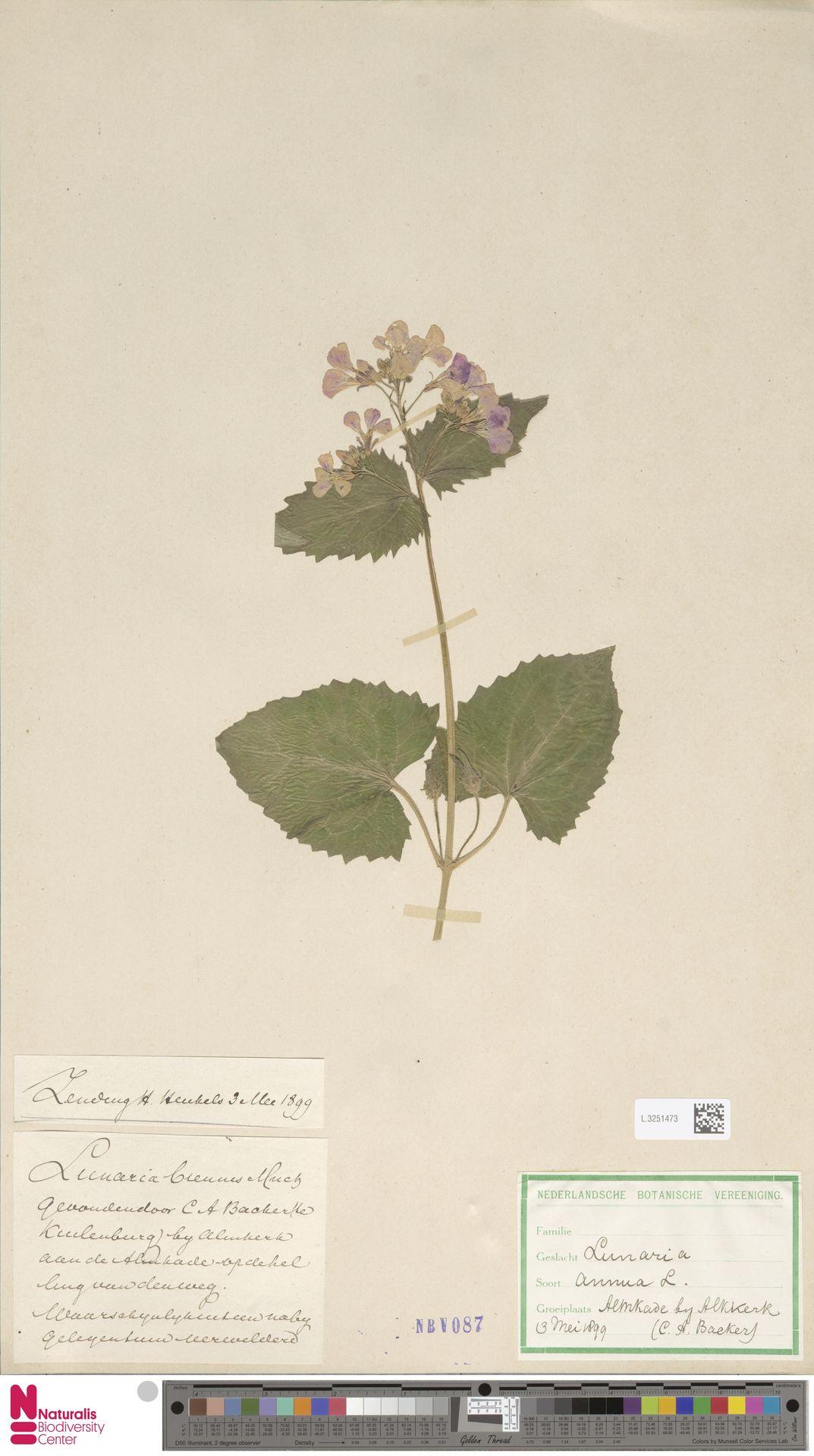 L.3251473 | Lunaria annua L.