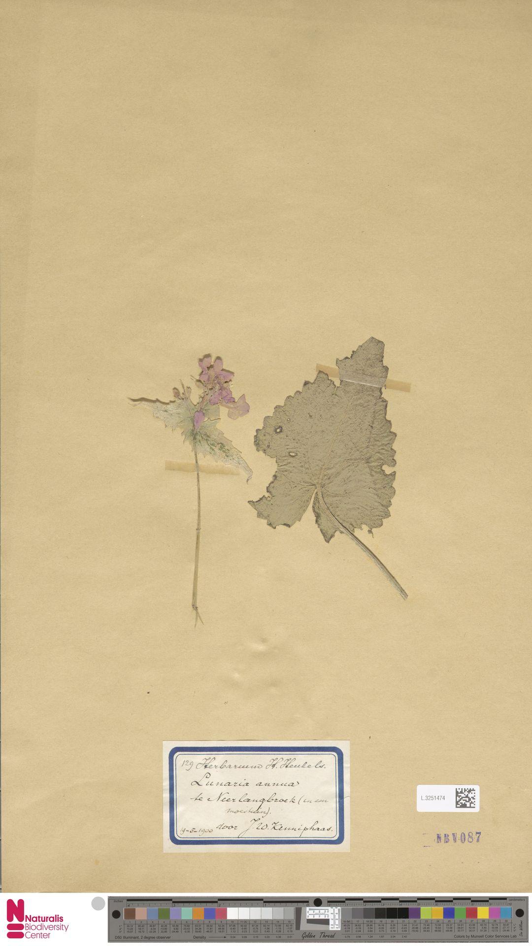 L.3251474 | Lunaria annua L.