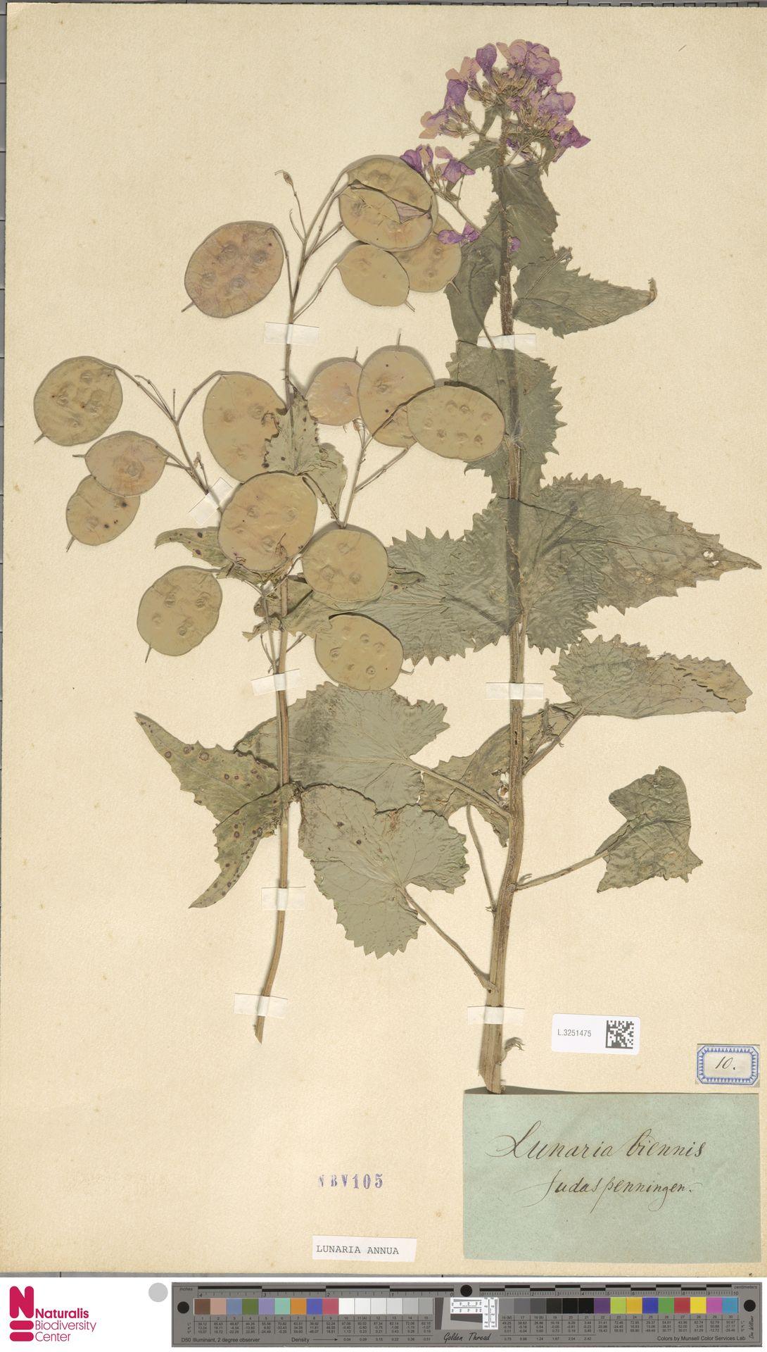 L.3251475 | Lunaria annua L.