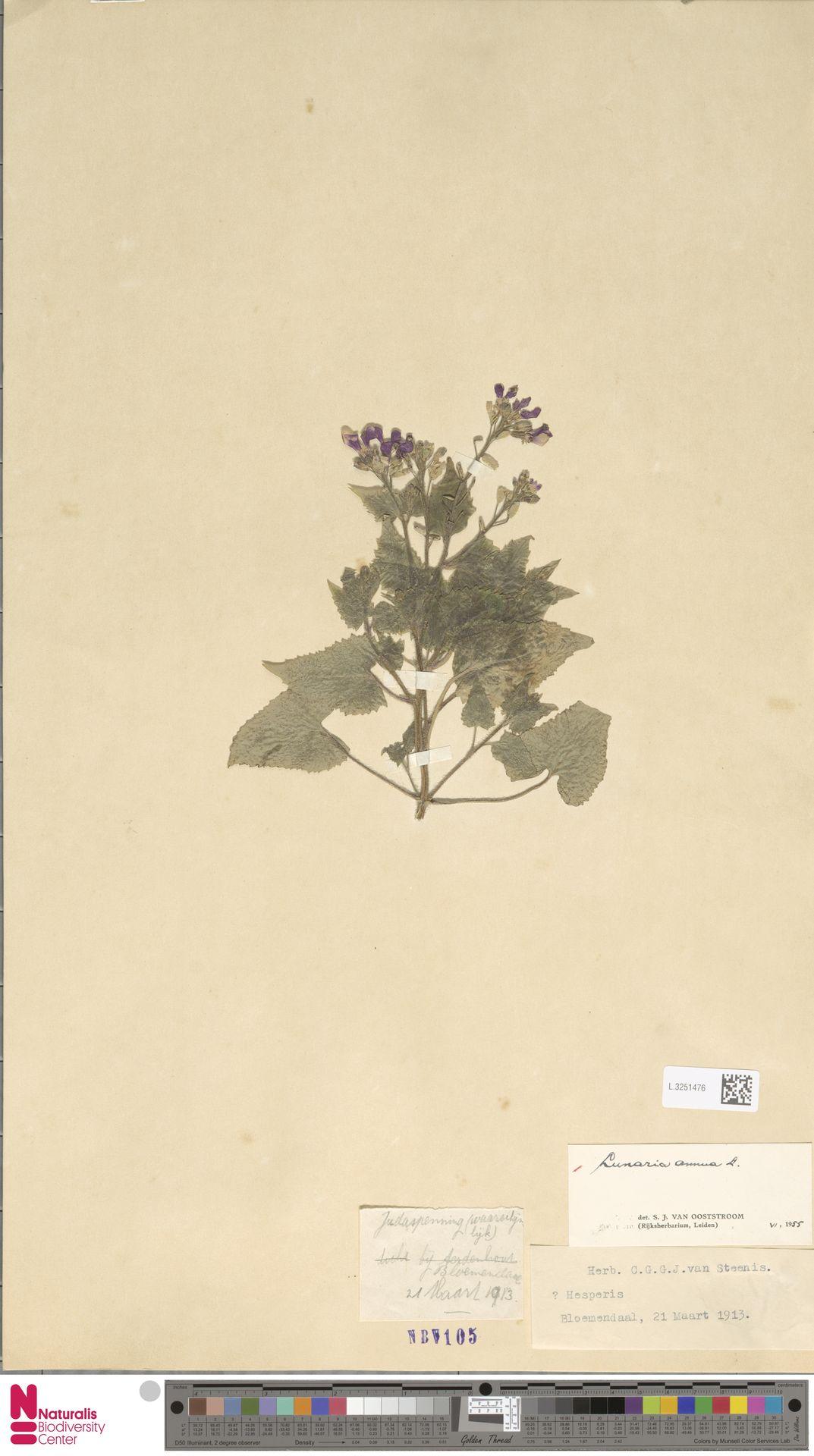 L.3251476 | Lunaria annua L.