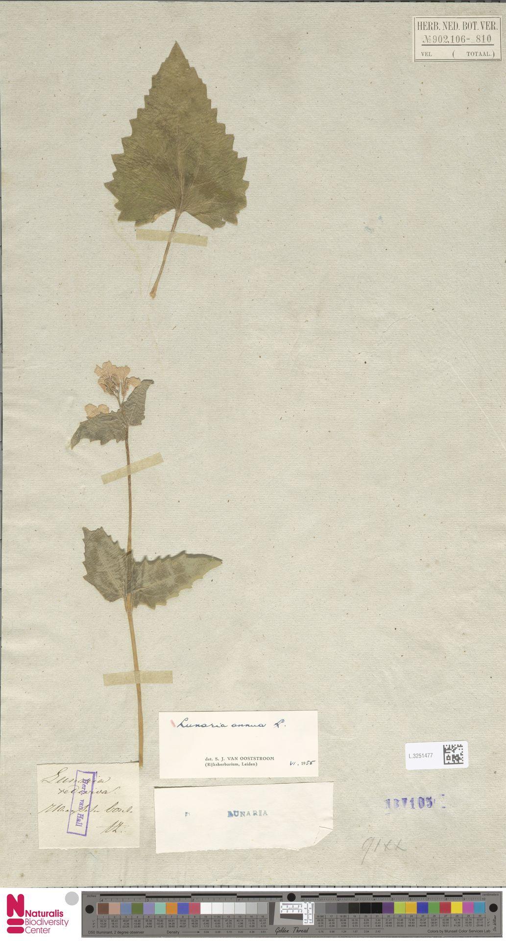 L.3251477 | Lunaria annua L.