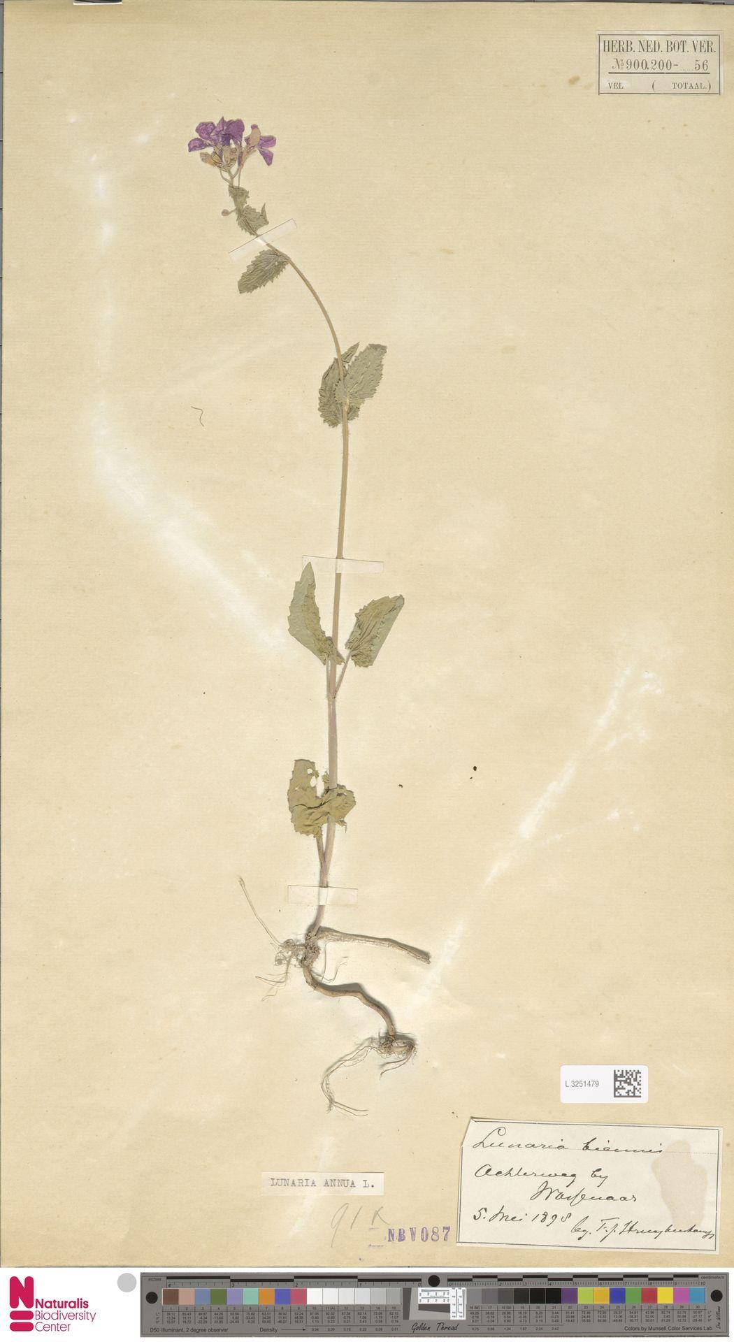 L.3251479 | Lunaria annua L.