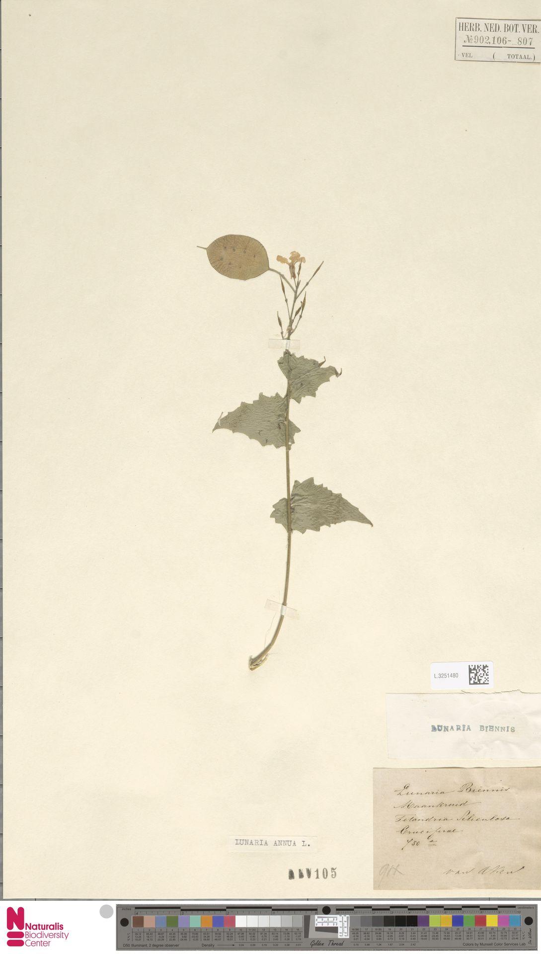 L.3251480 | Lunaria annua L.