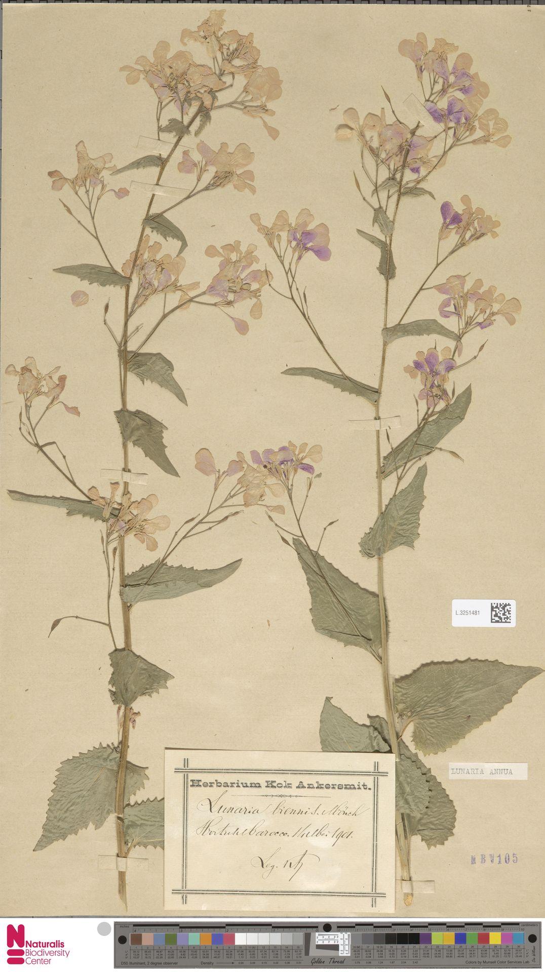 L.3251481 | Lunaria annua L.