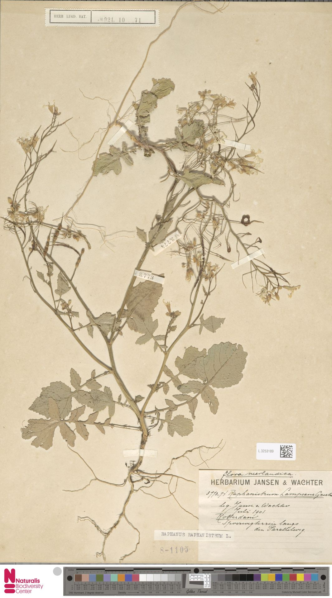 L.3253189 | Raphanus raphanistrum L.