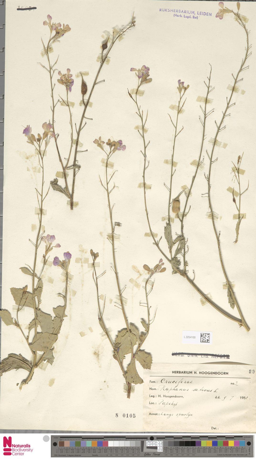 L.3254100 | Raphanus sativus L.