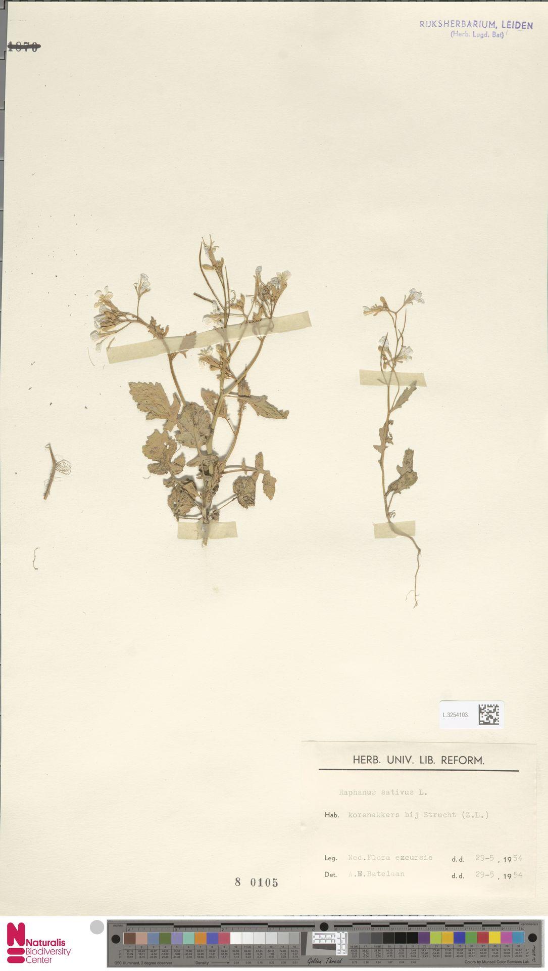 L.3254103 | Raphanus sativus L.
