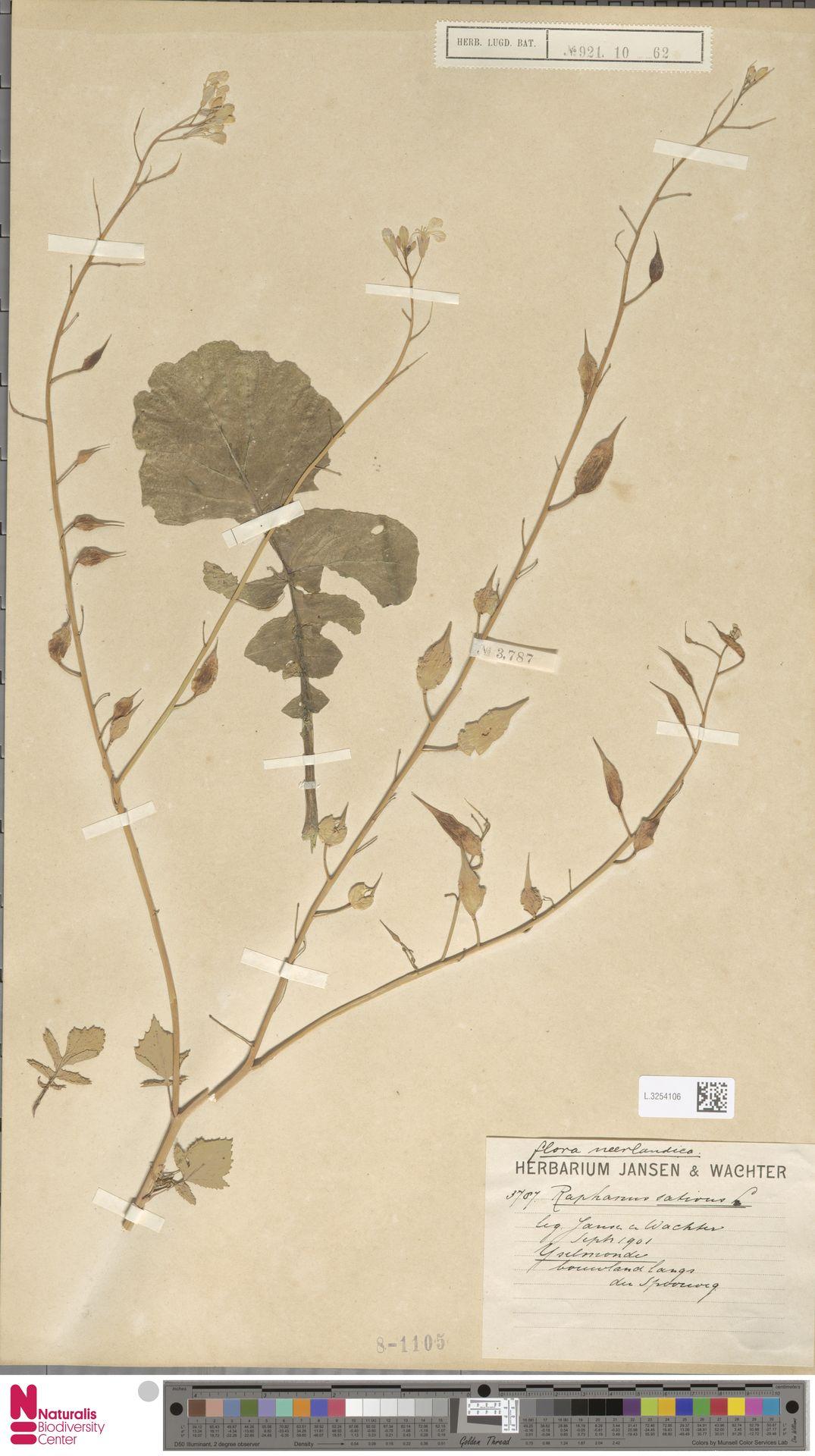 L.3254106 | Raphanus sativus L.