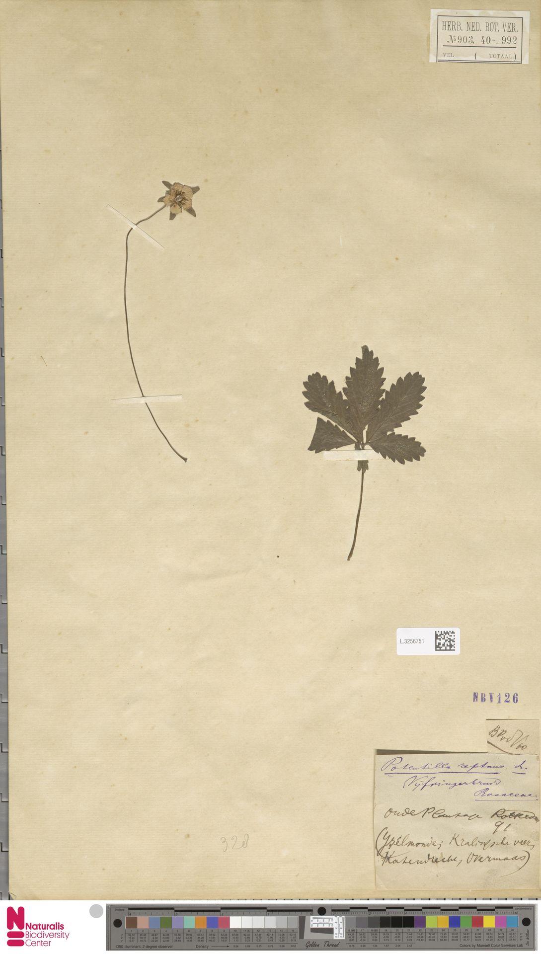 L.3256751 | Potentilla reptans L.