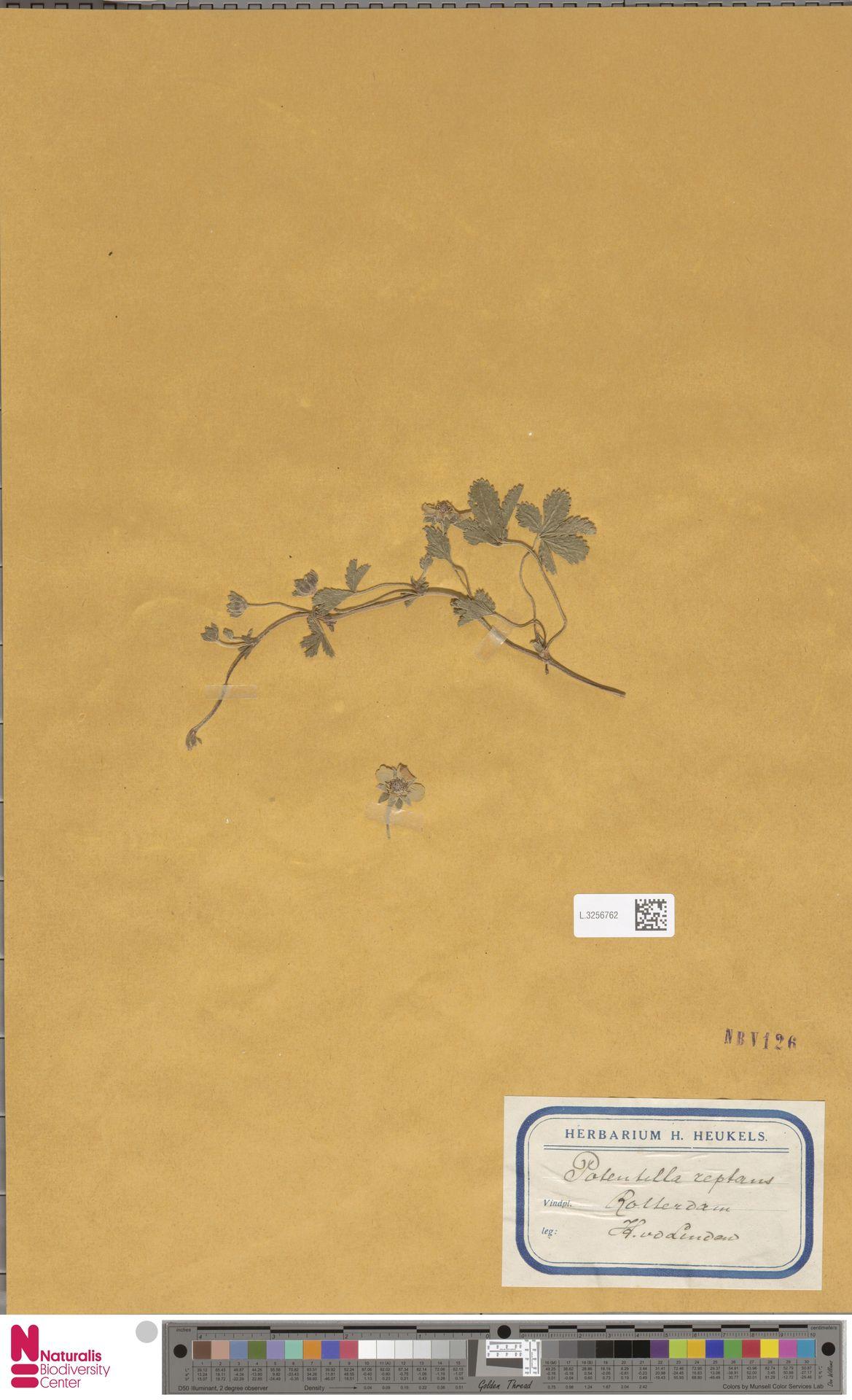 L.3256762 | Potentilla reptans L.